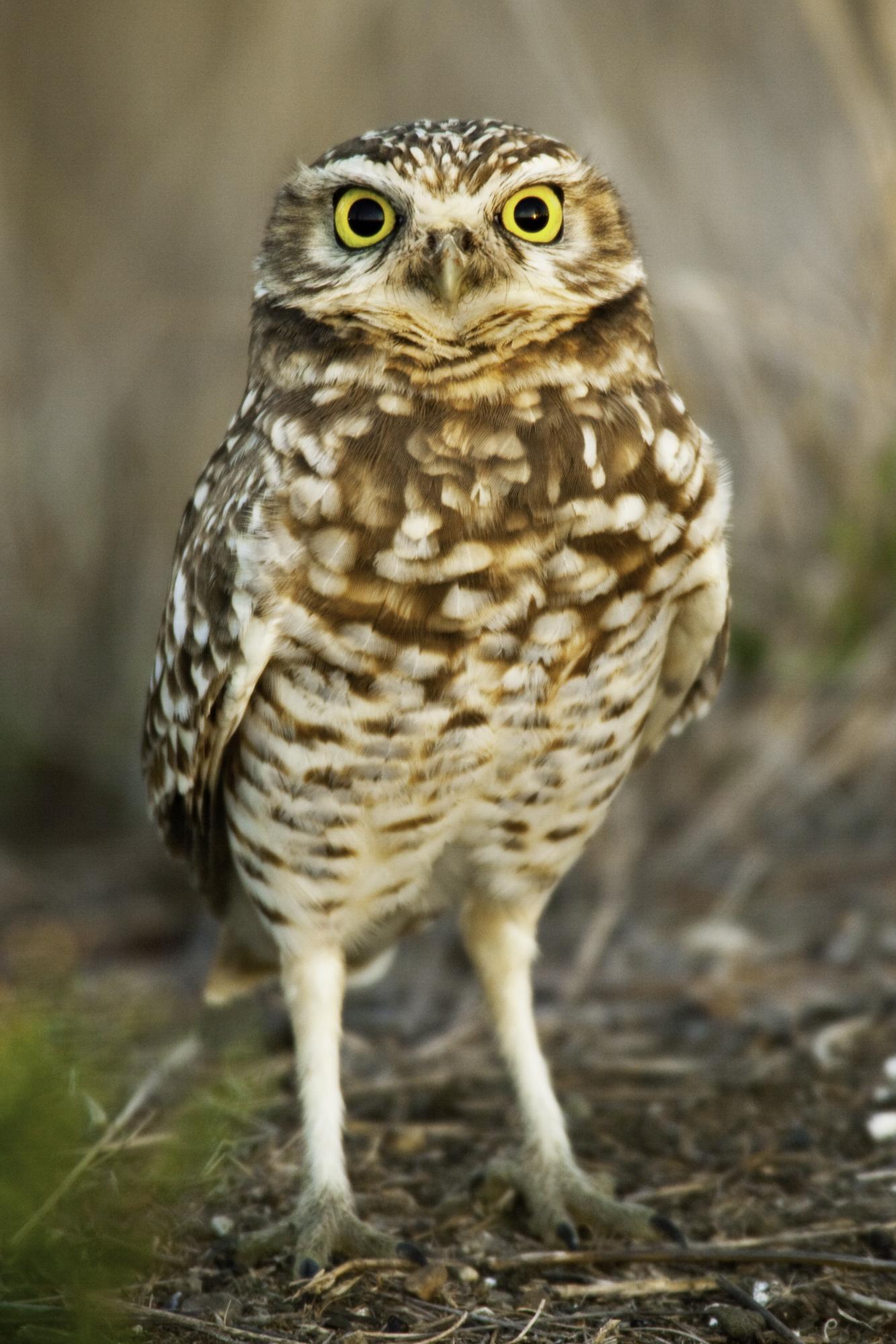 Burrowing Owl..穴小鸮
