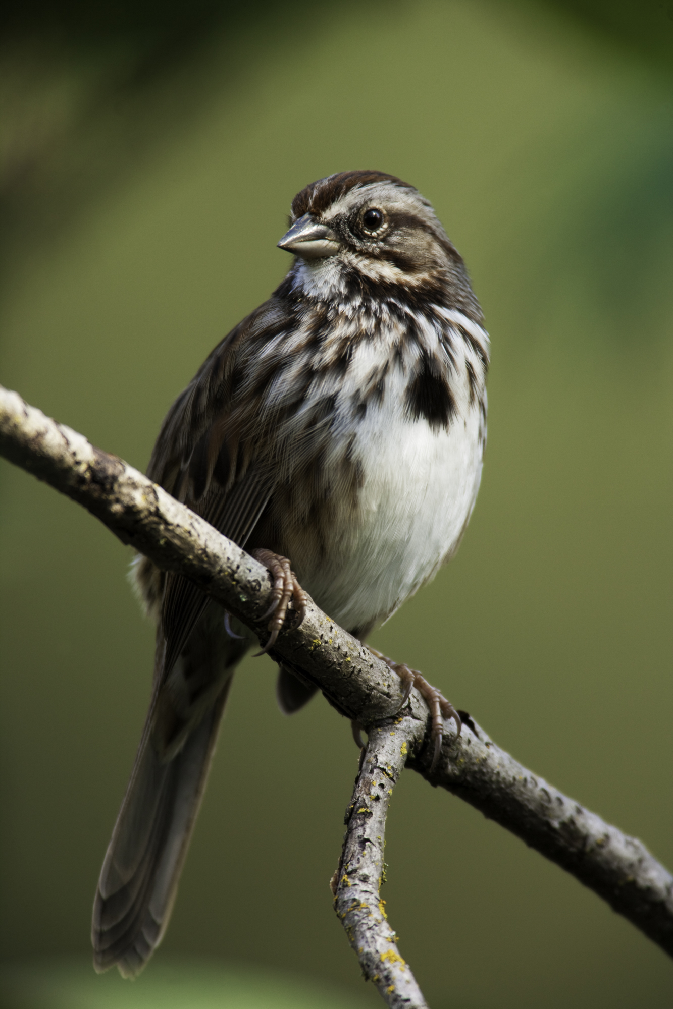 Song Sparrow..歌带鹀