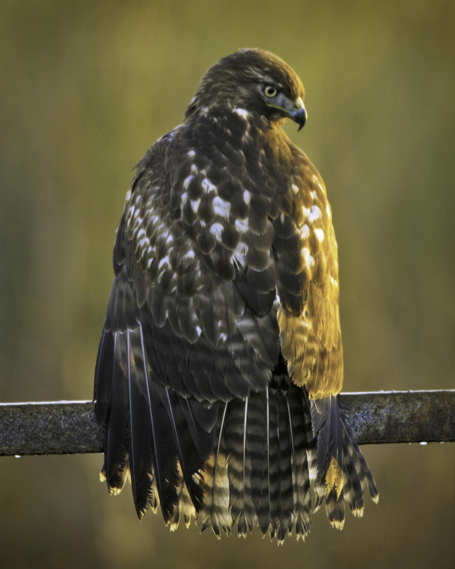 Red-tailed Hawk..红尾鵟