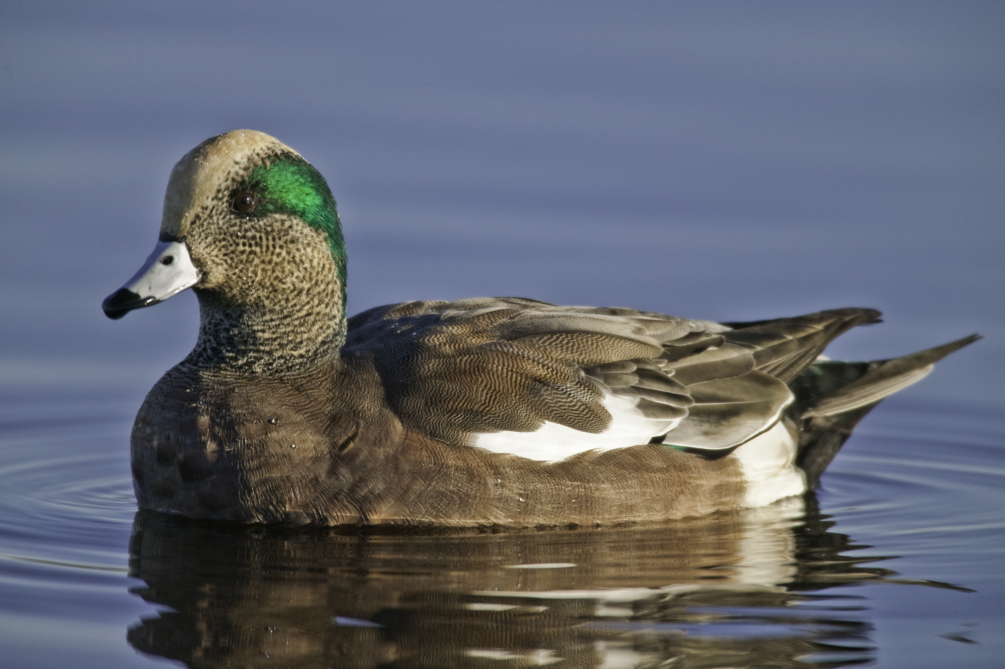 American Wigeon..绿眉鸭