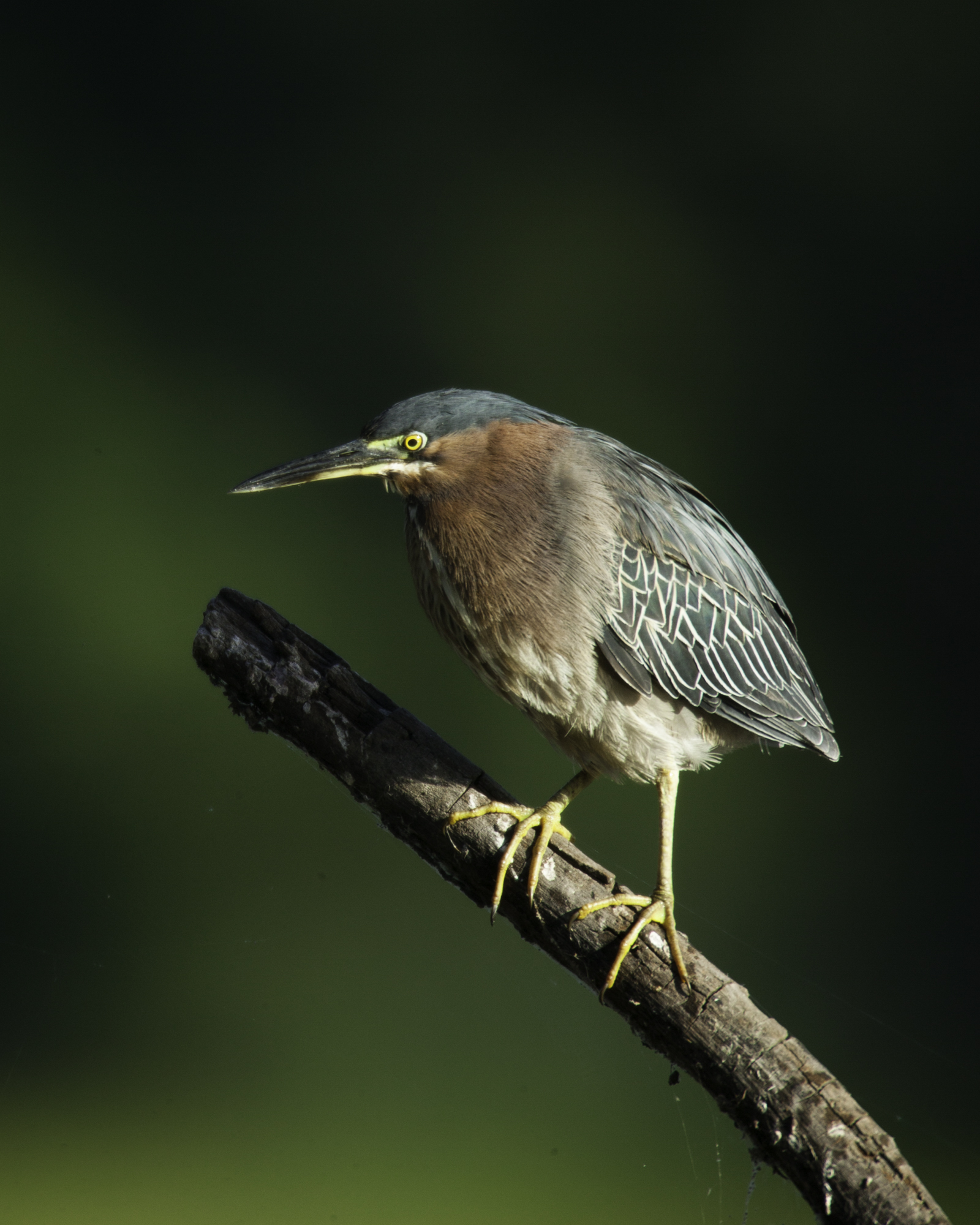Green Heron..美洲绿鹭