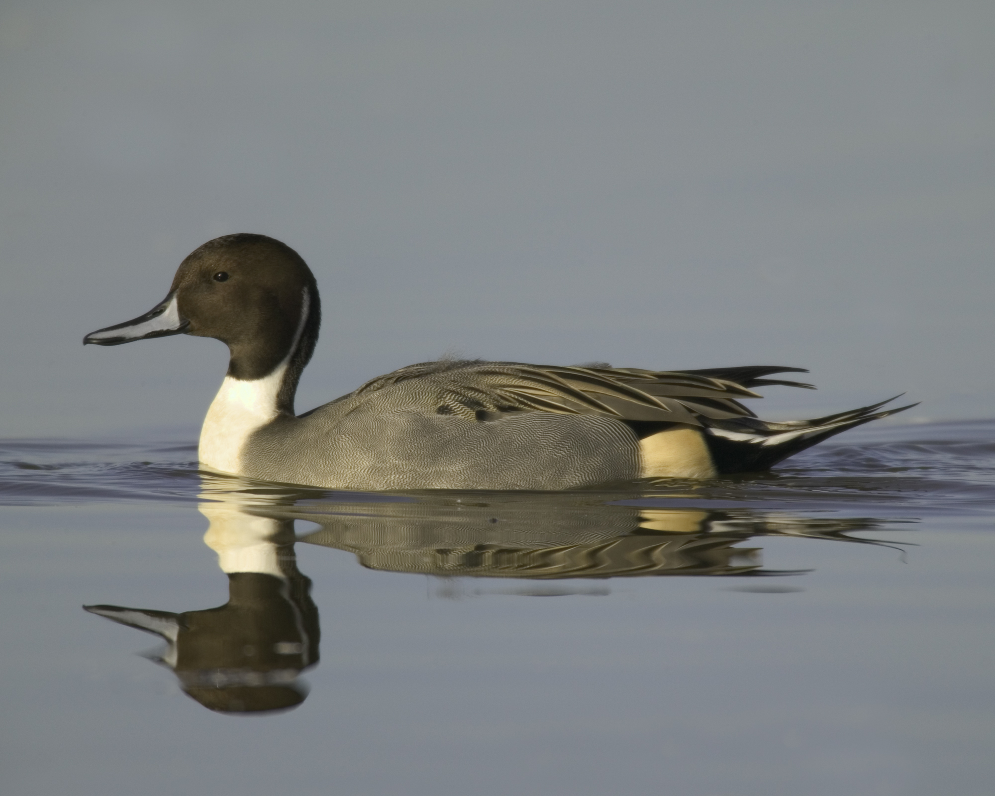 Northern Pintail..针尾鸭