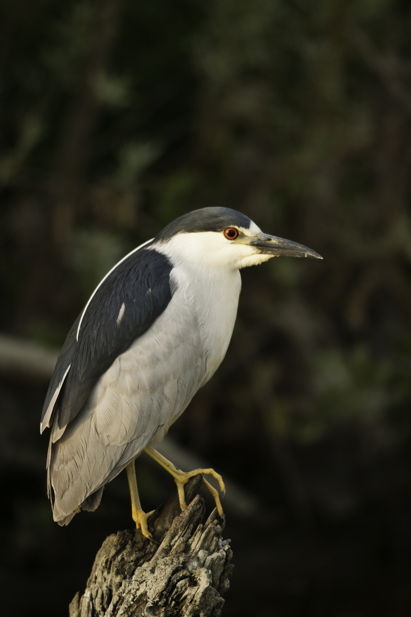 Black-crowned Night-Heron..夜鹭