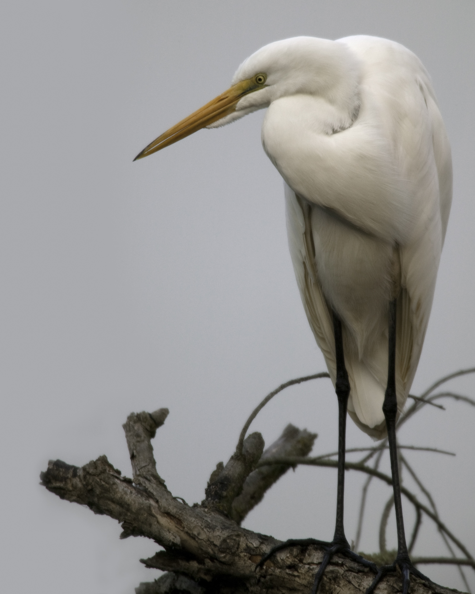 Great Egret..大白鹭