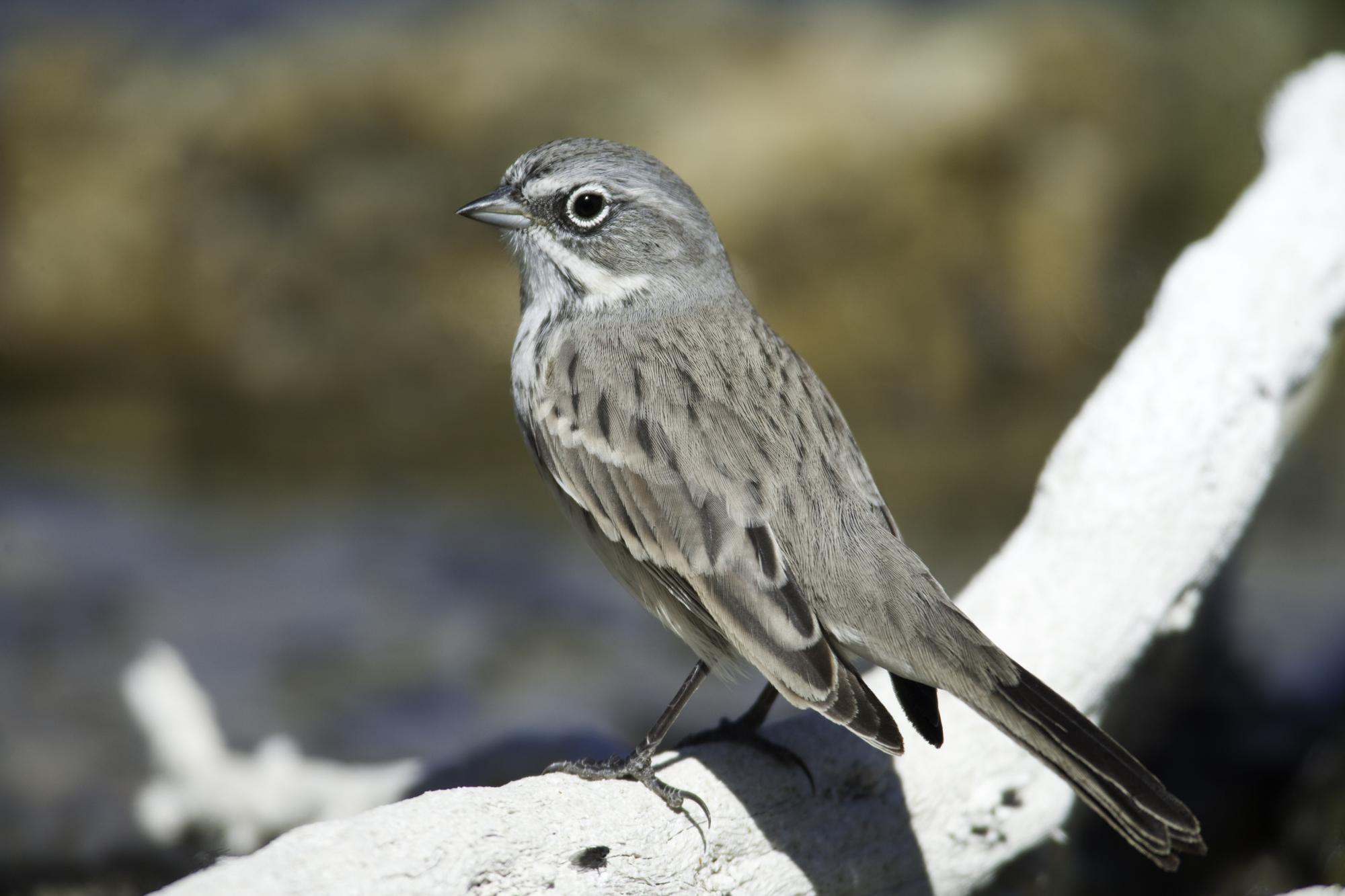 Sagebrush Sparrow..艾草漠鹀