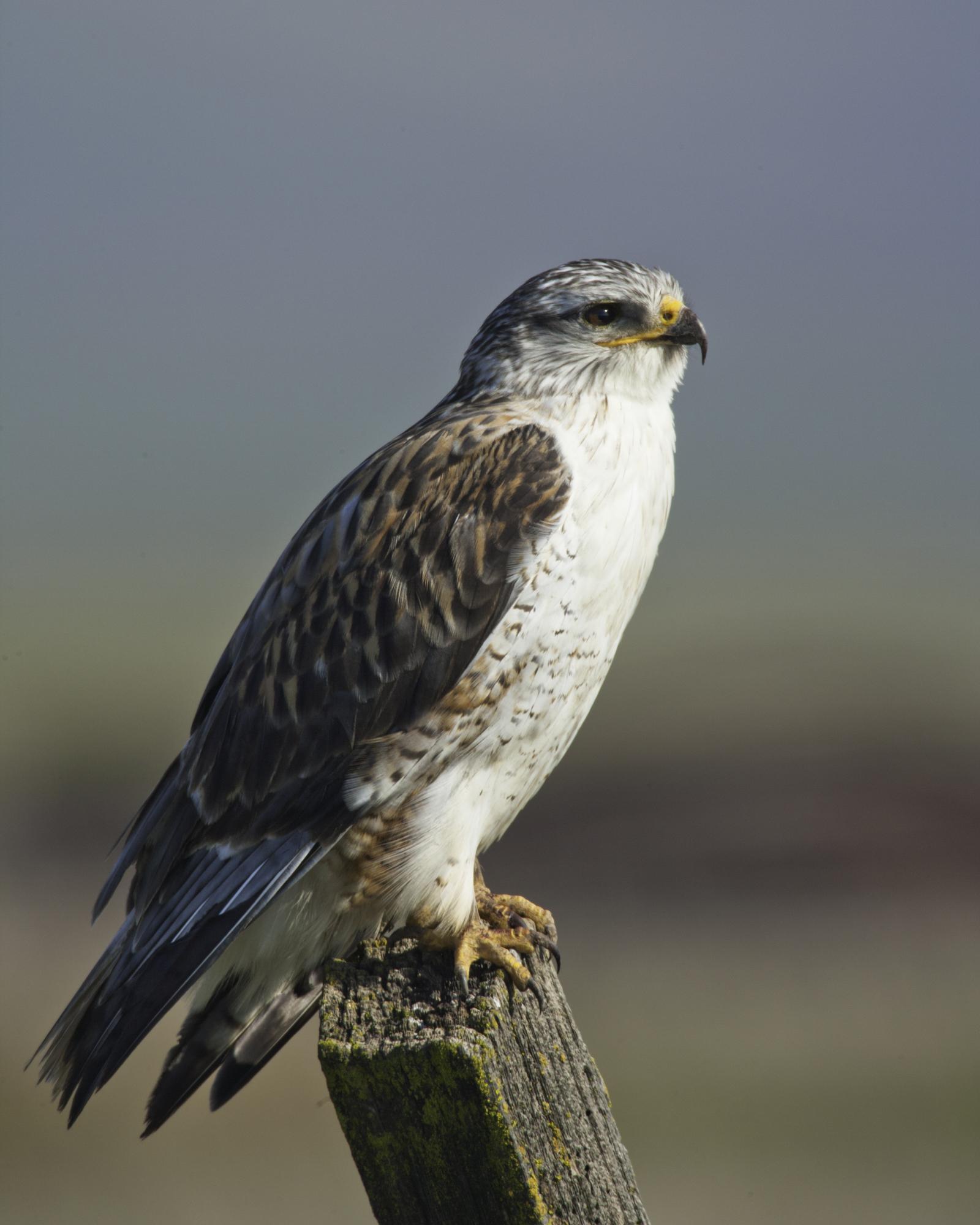 Ferruginous Hawk..王鵟