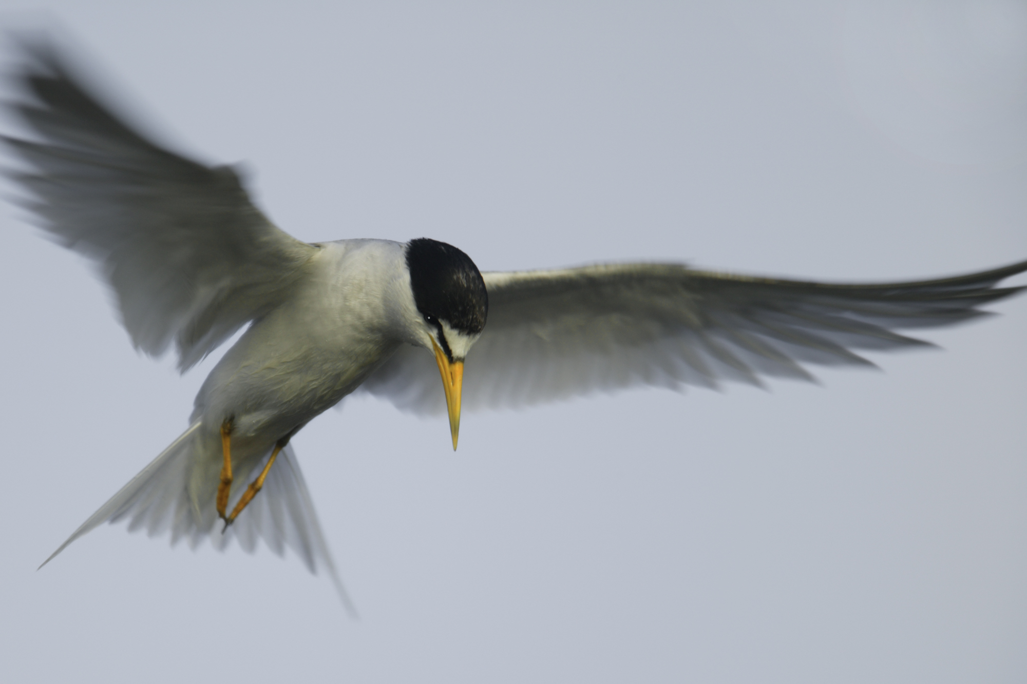 小白额燕鸥