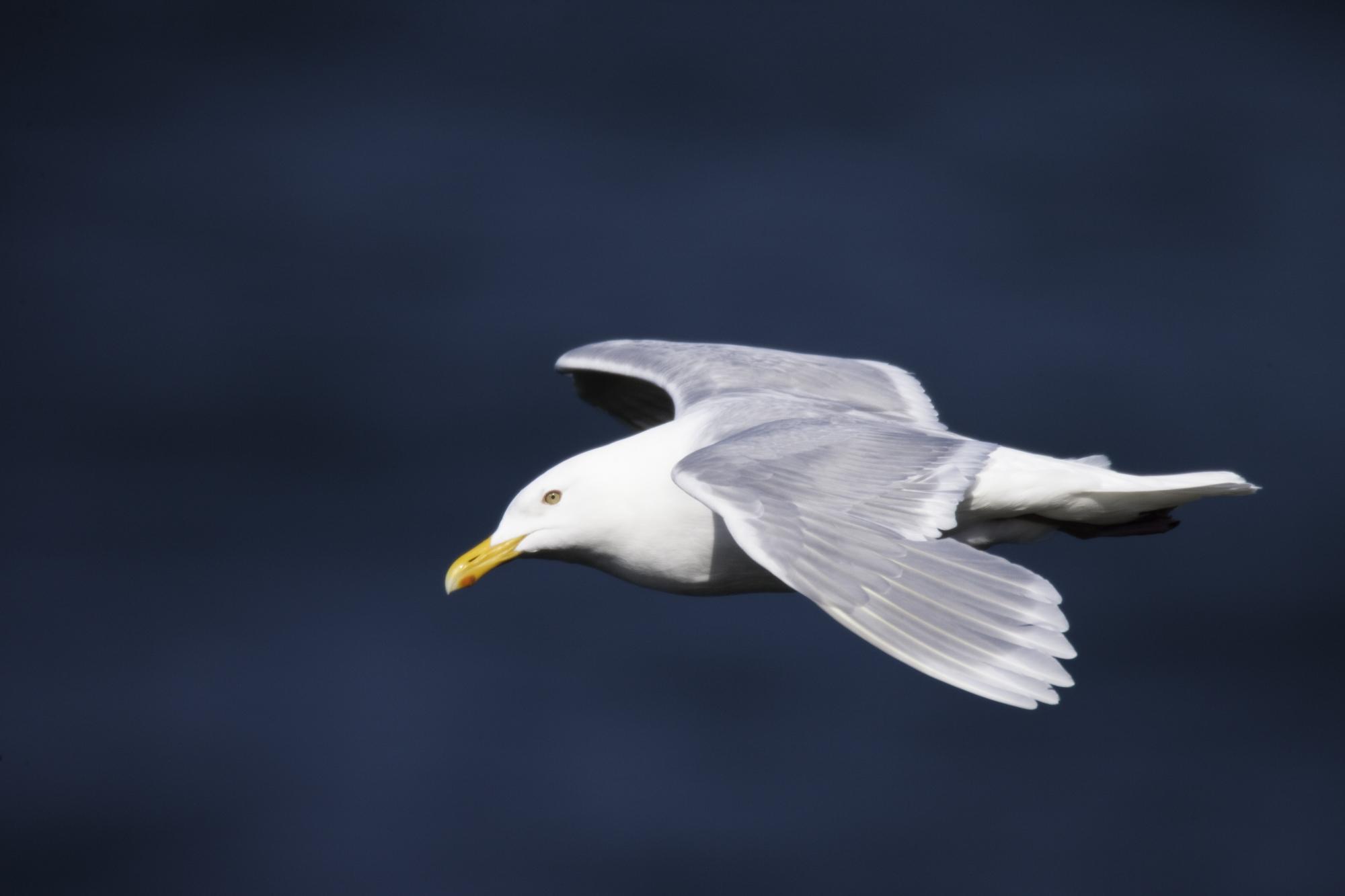 Glaucous Gull..北极鸥