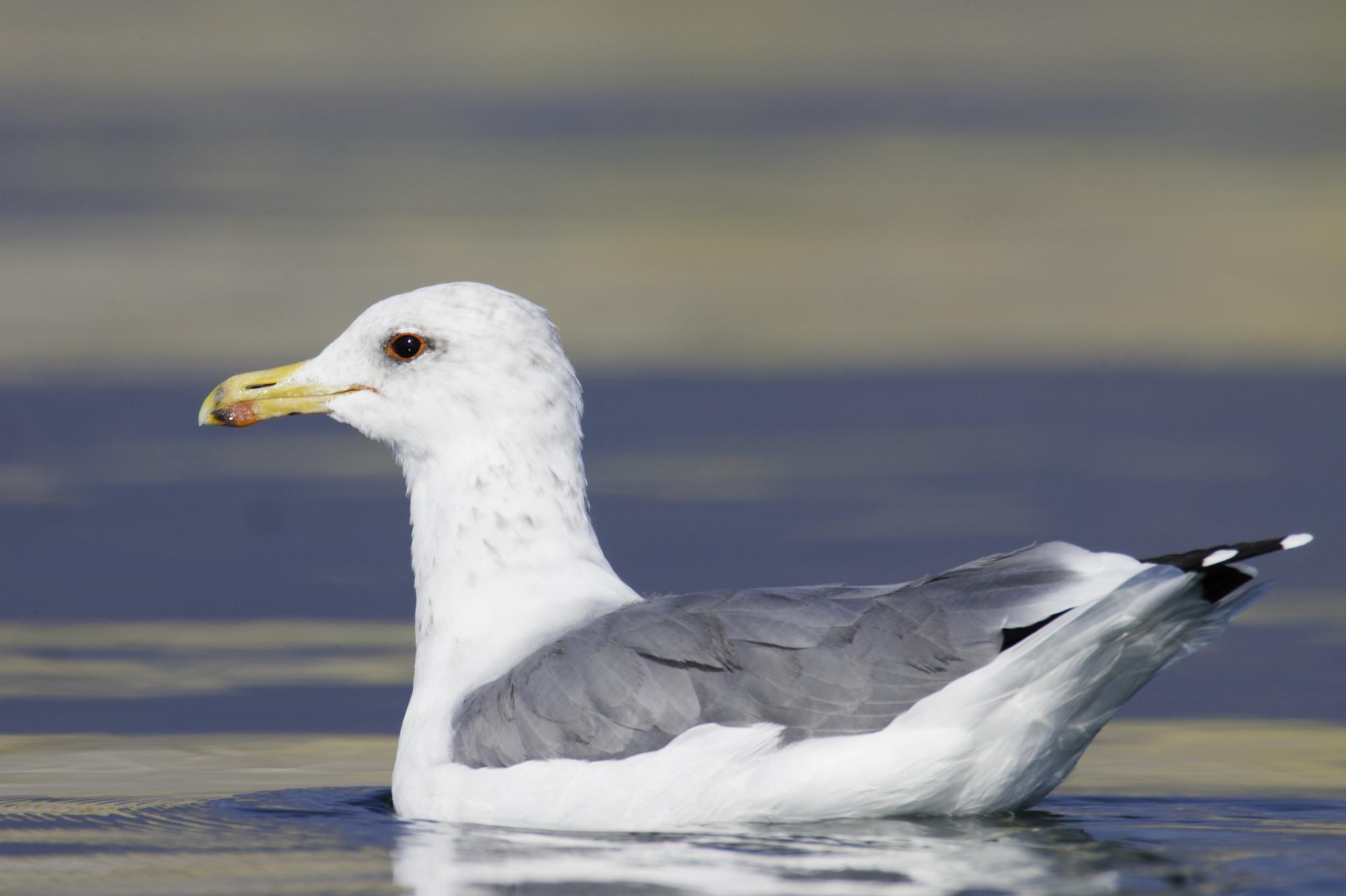 California Gull..加州鸥