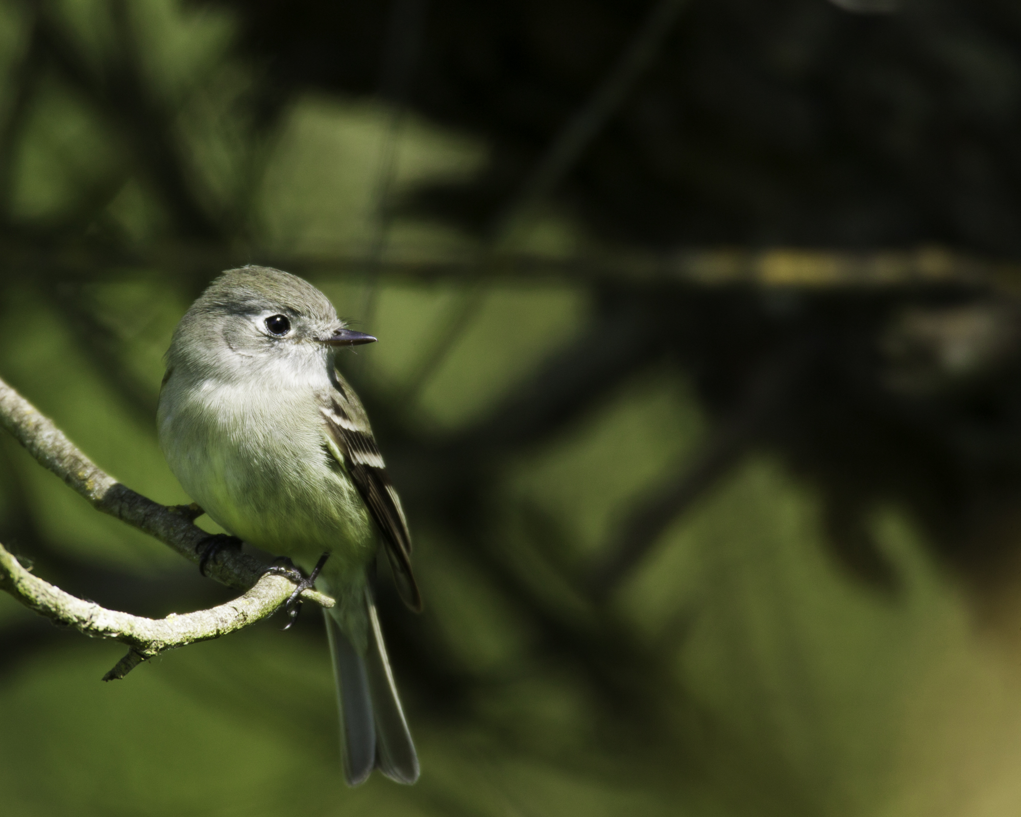 Empidonax Flycatcher..霸鹟