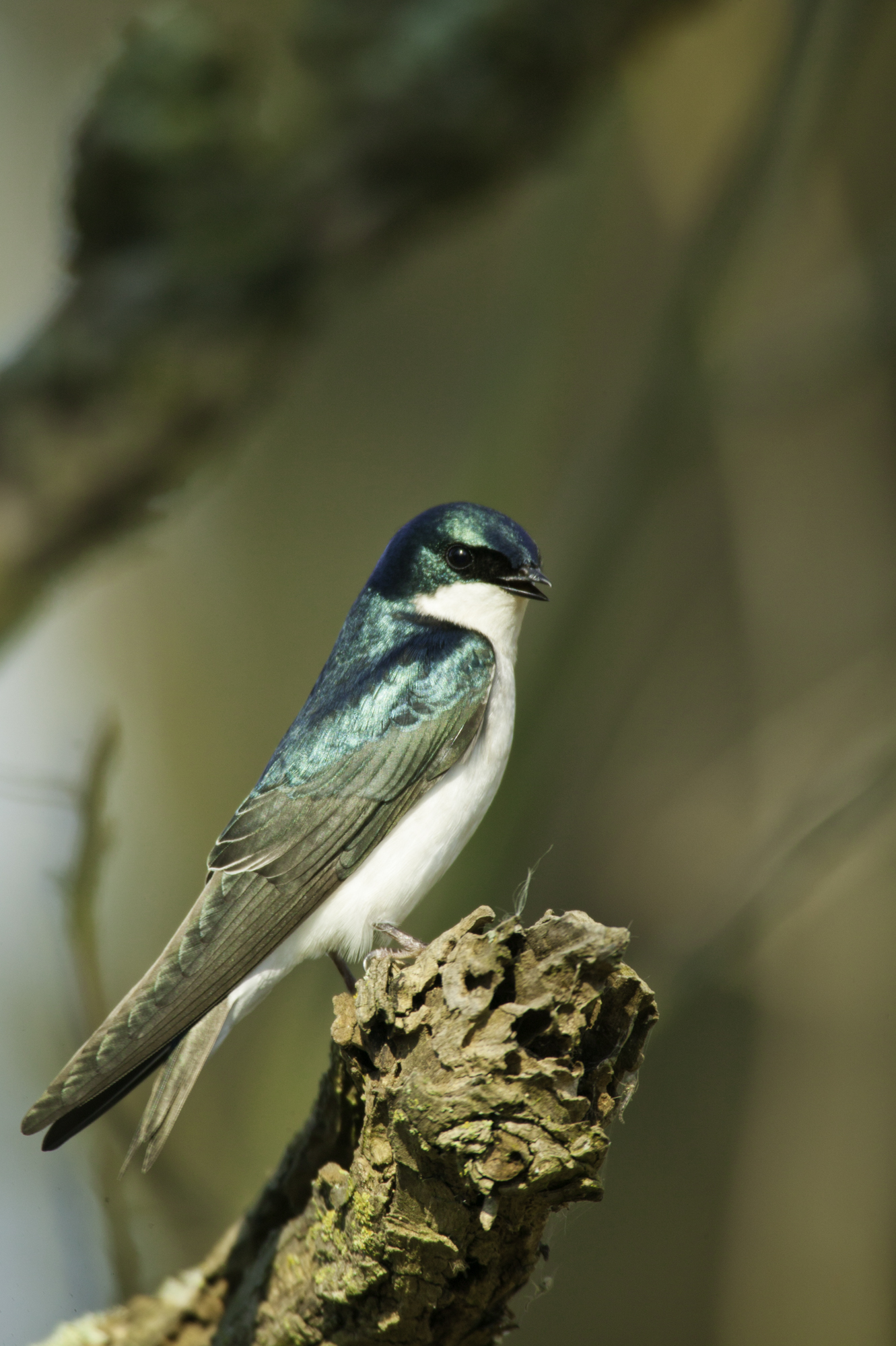 Tree Swallow..双色树燕