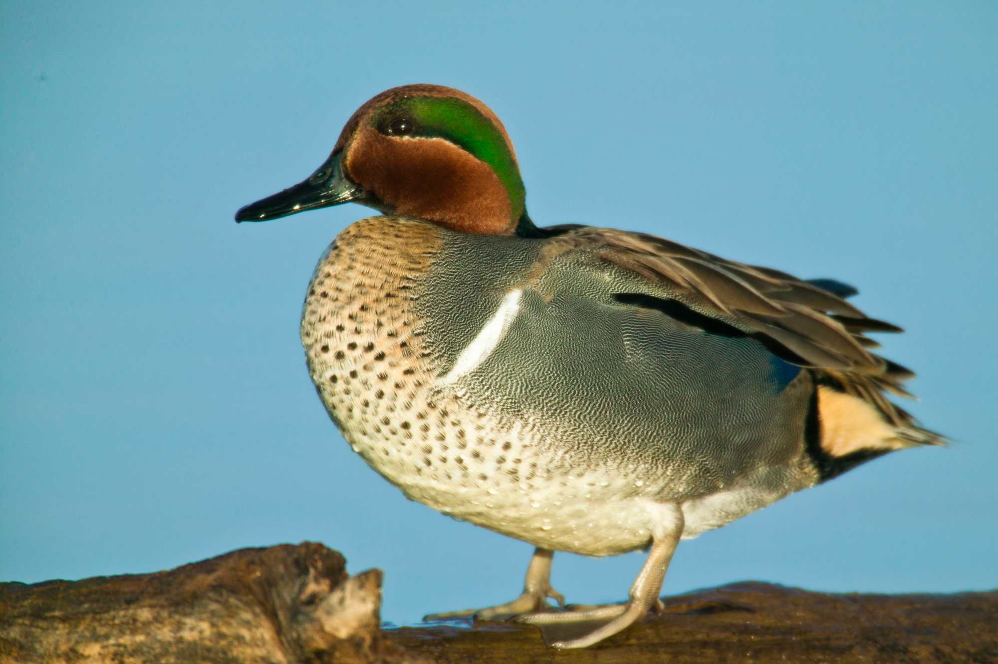 Green-winged Teal..绿翅鸭