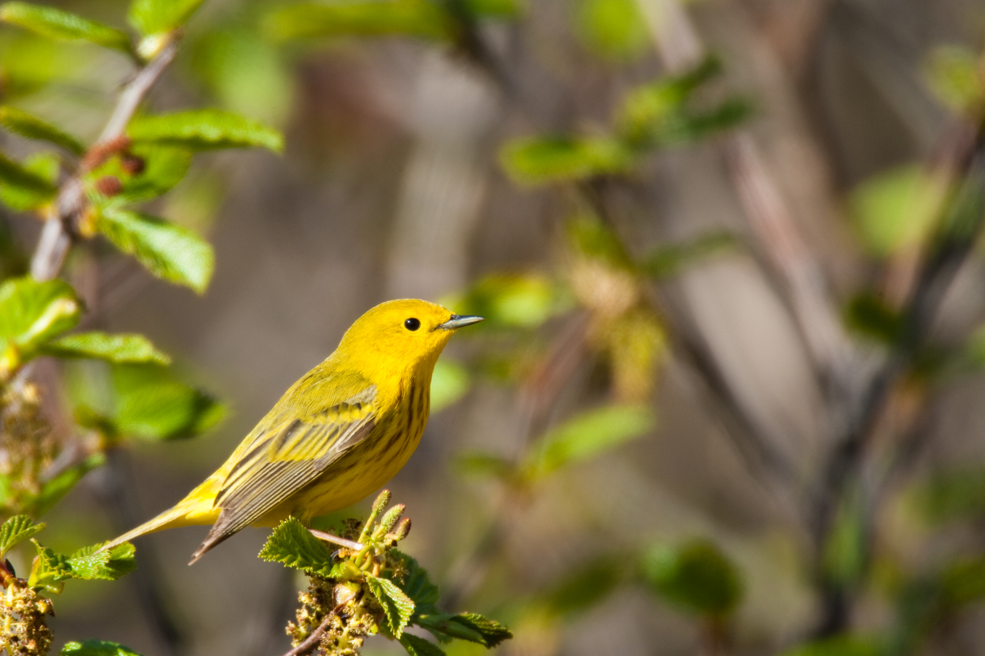 Yellow Warbler, male..雄性黄林莺
