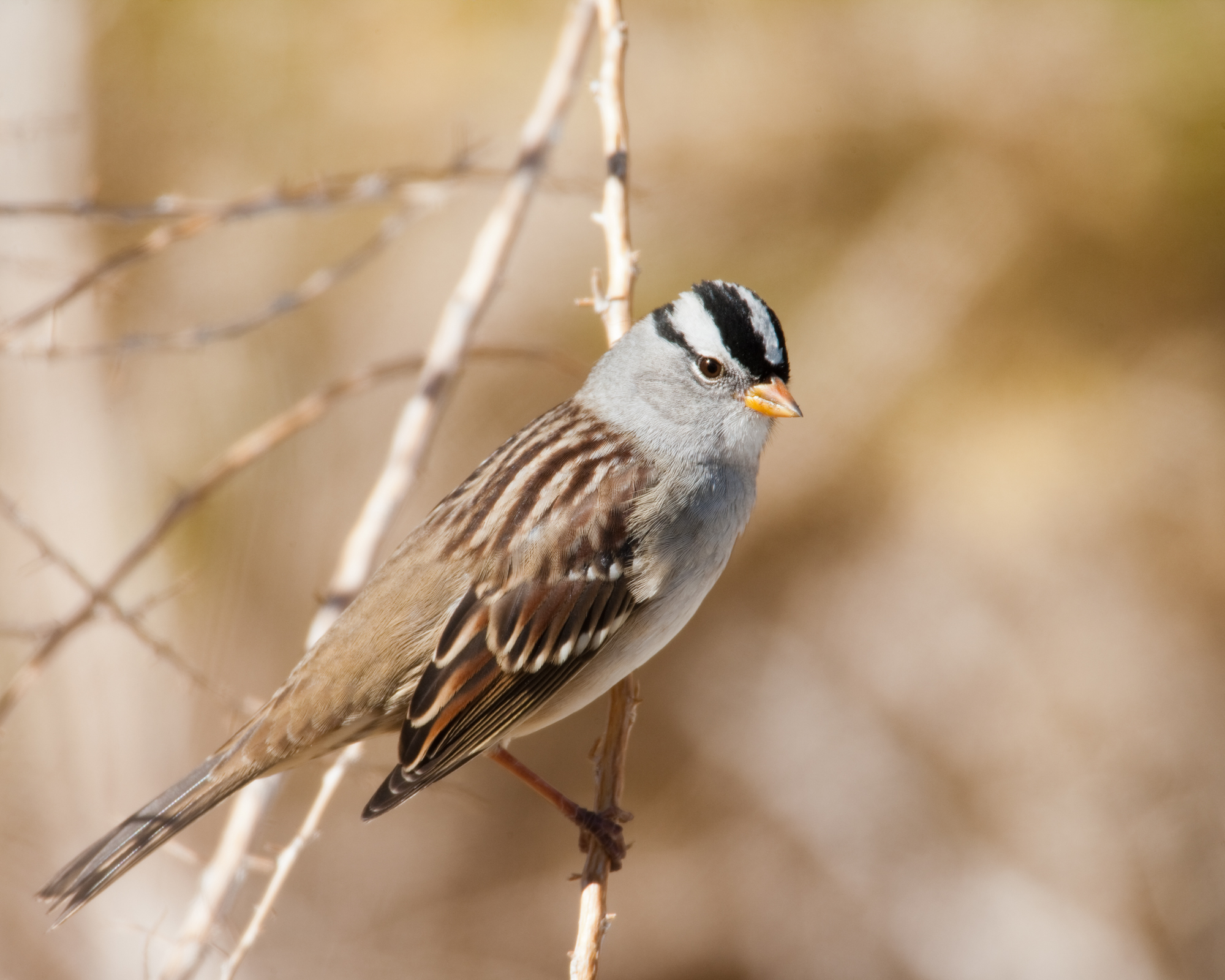 White-crowned Sparrow..白冠带鹀