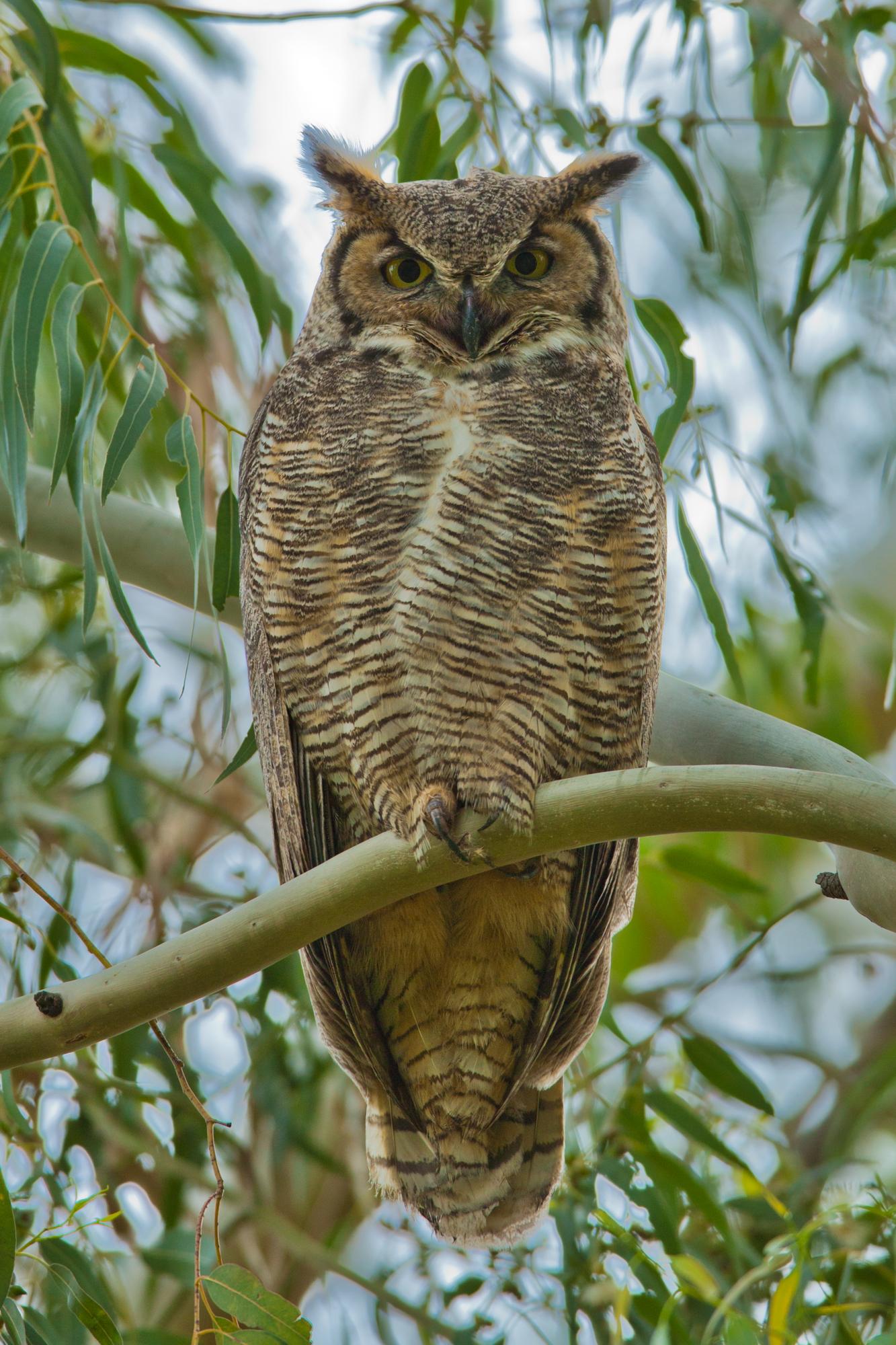 Great Horned Owl..美洲雕鸮