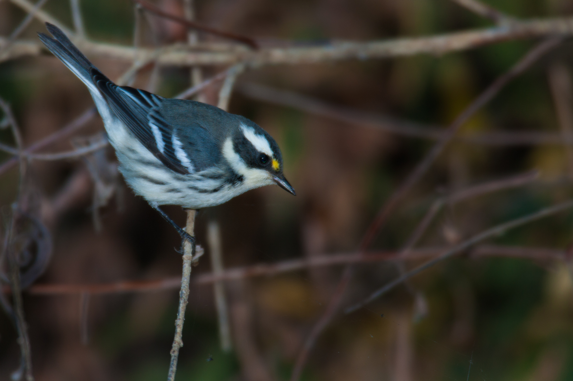 Black-throated Gray Warbler, male..雄性黑喉灰林莺
