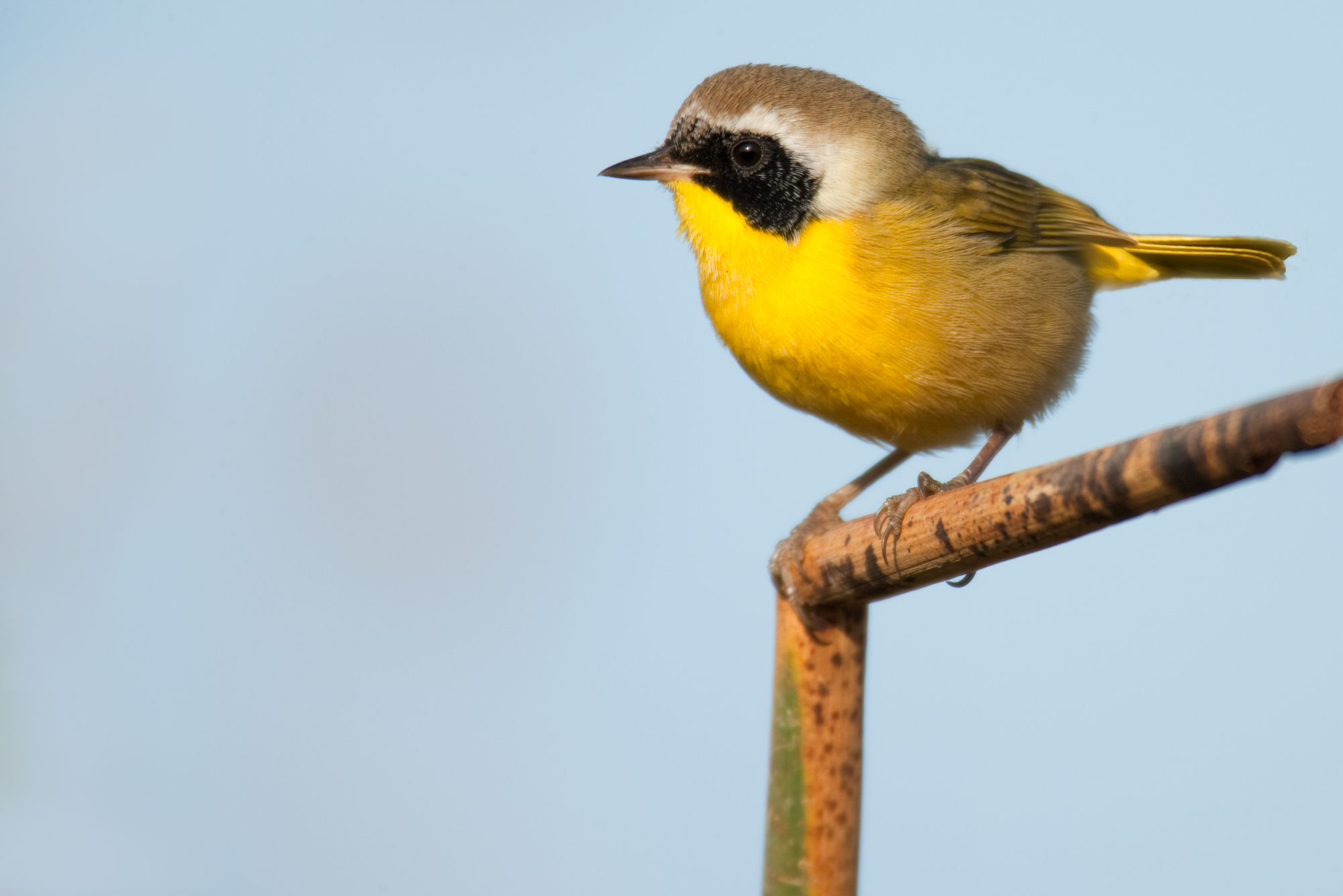 Common Yellowthroat..黄喉地莺