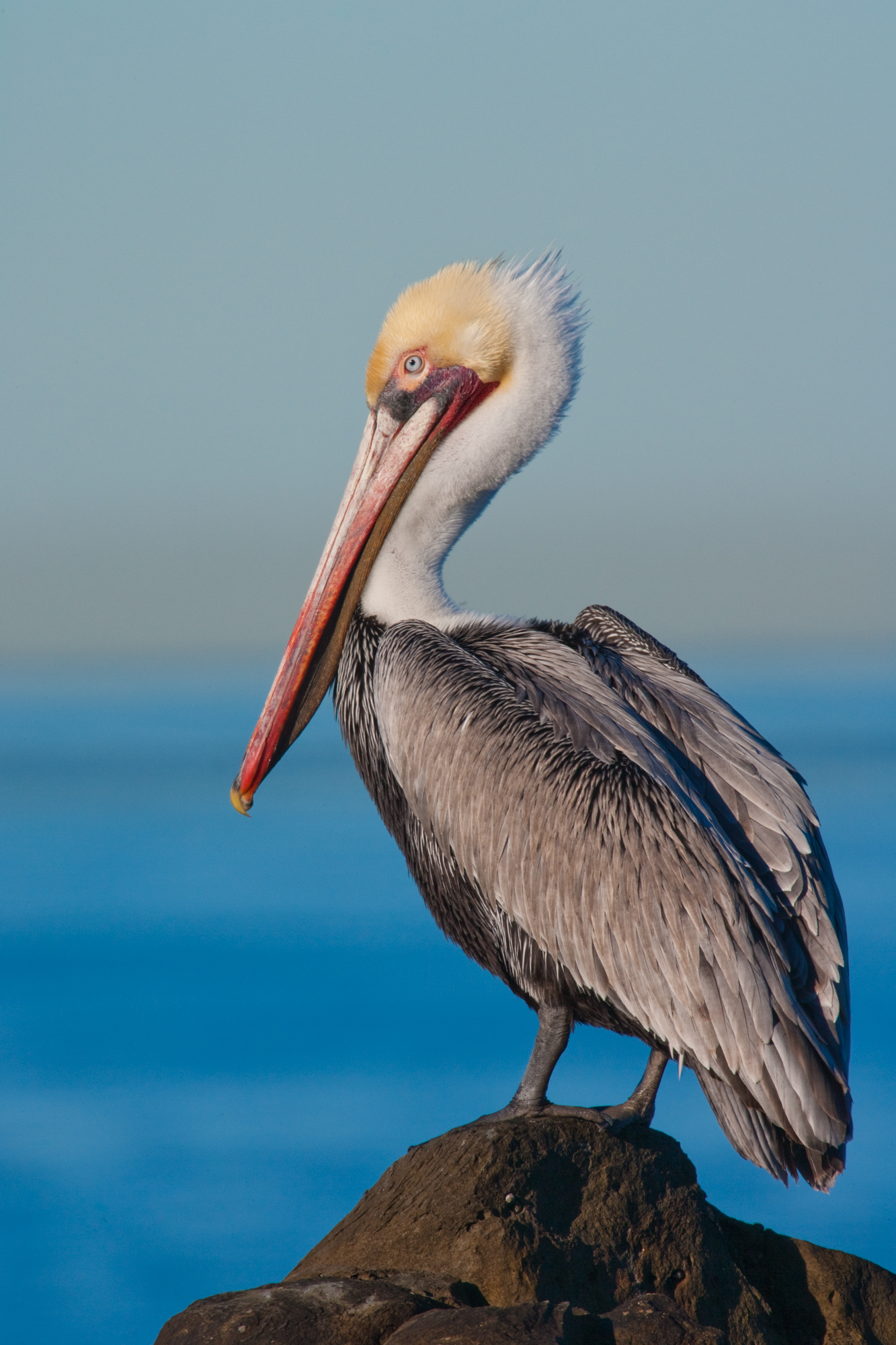 Brown Pelican (basic plumage)..基本羽衣的褐鹈鹕