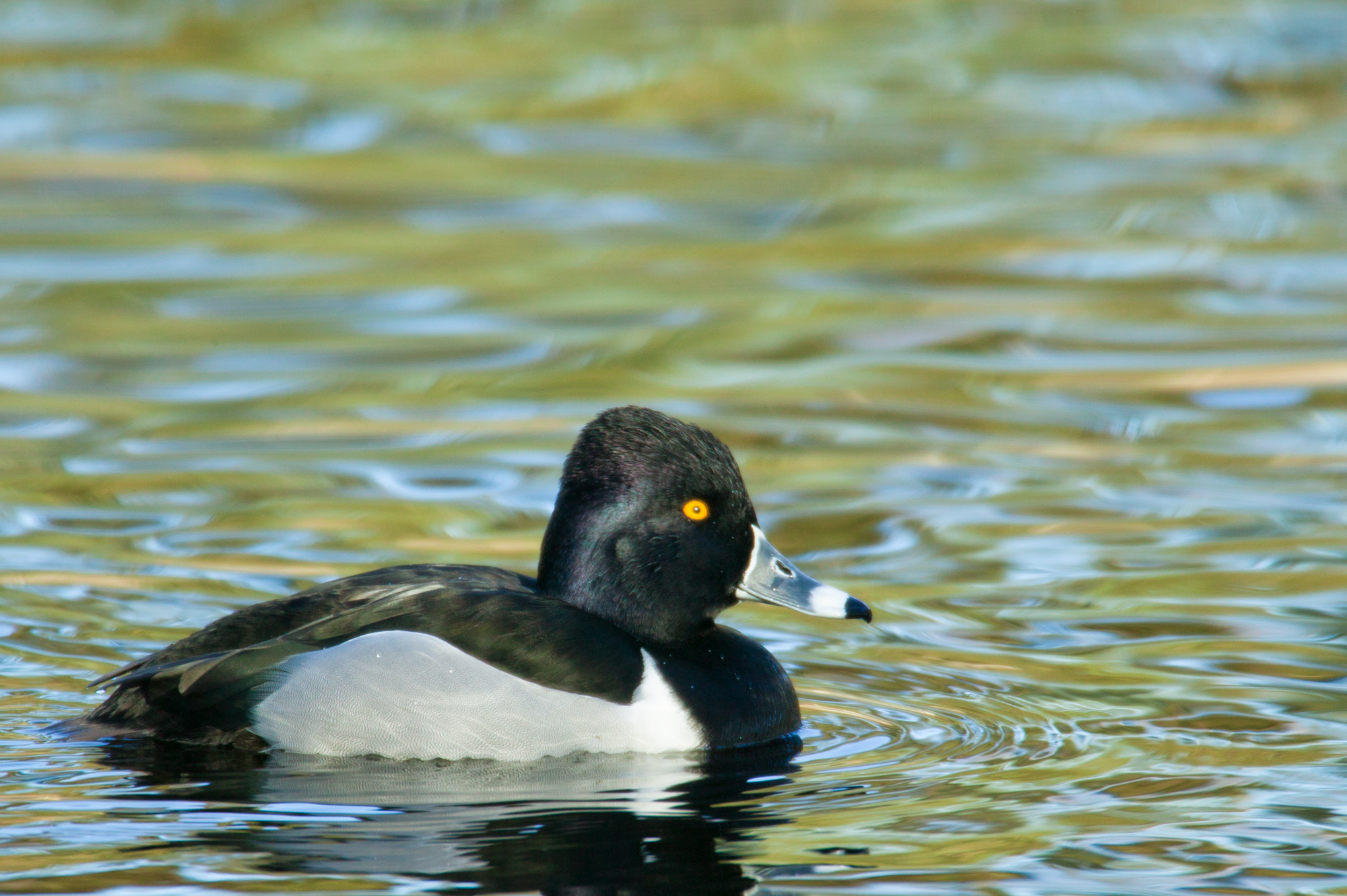 Ring-necked Duck..环颈潜鸭
