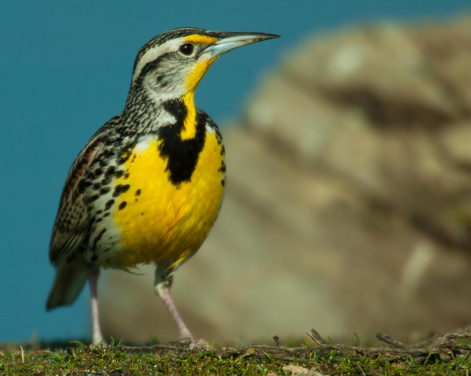 Western Meadowlark..西草地鹨