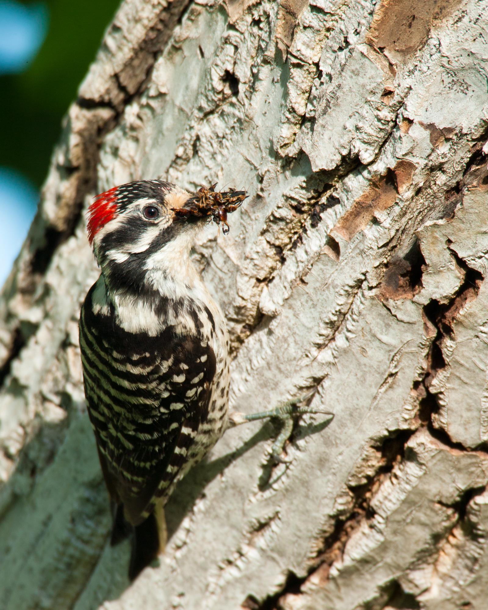 加州啄木鸟
