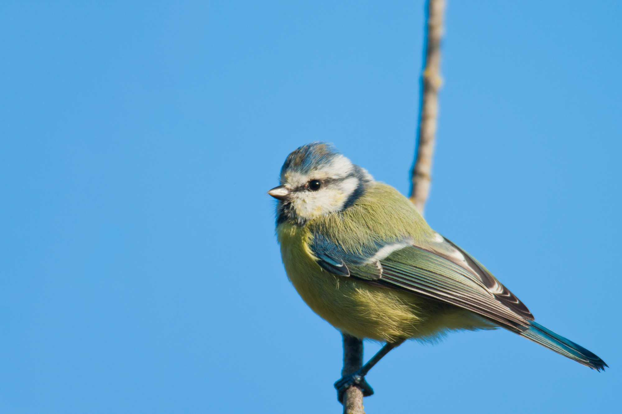 Blue Tit..青山雀