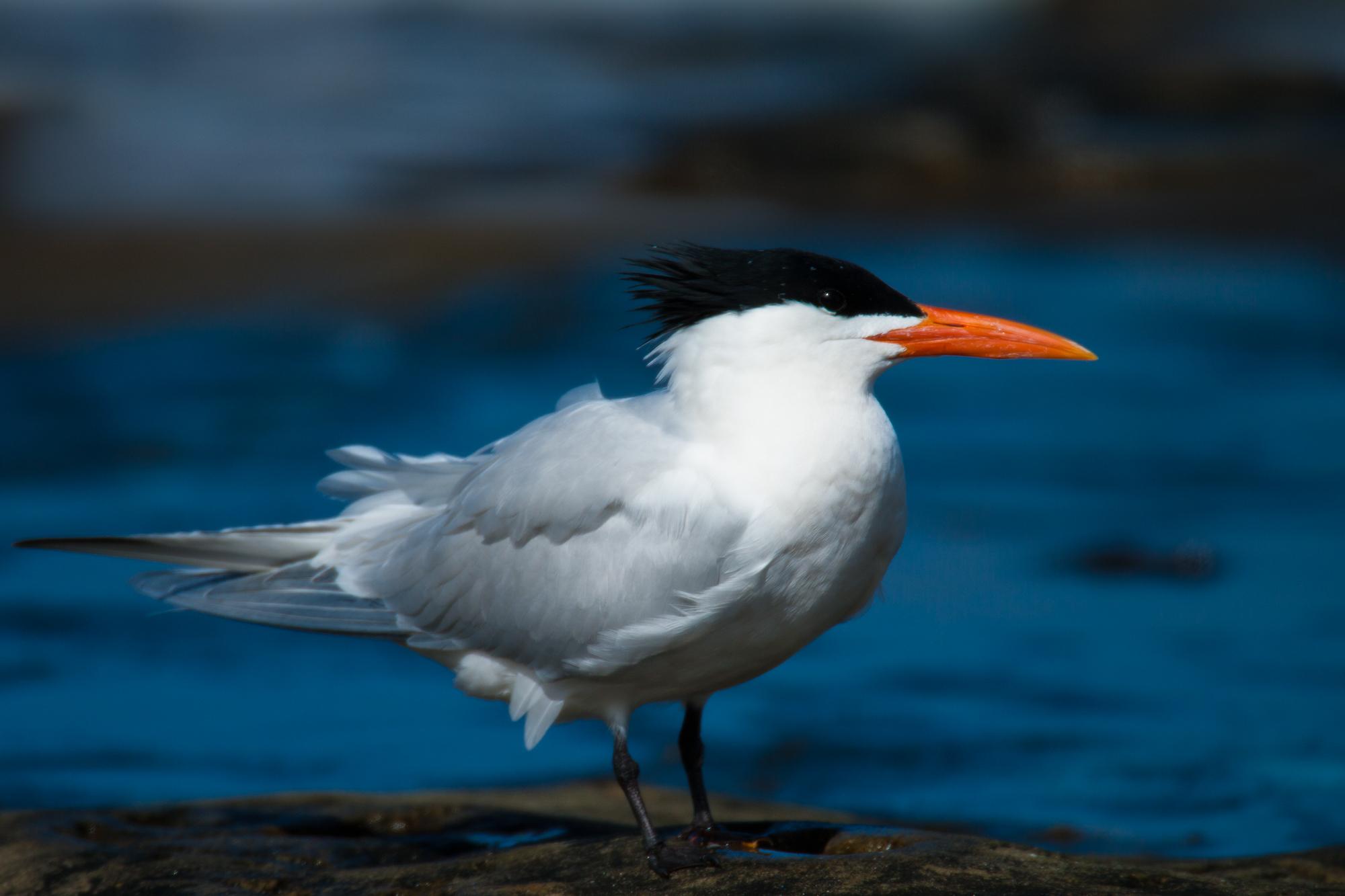 繁殖羽衣的橙嘴凤头燕鸥