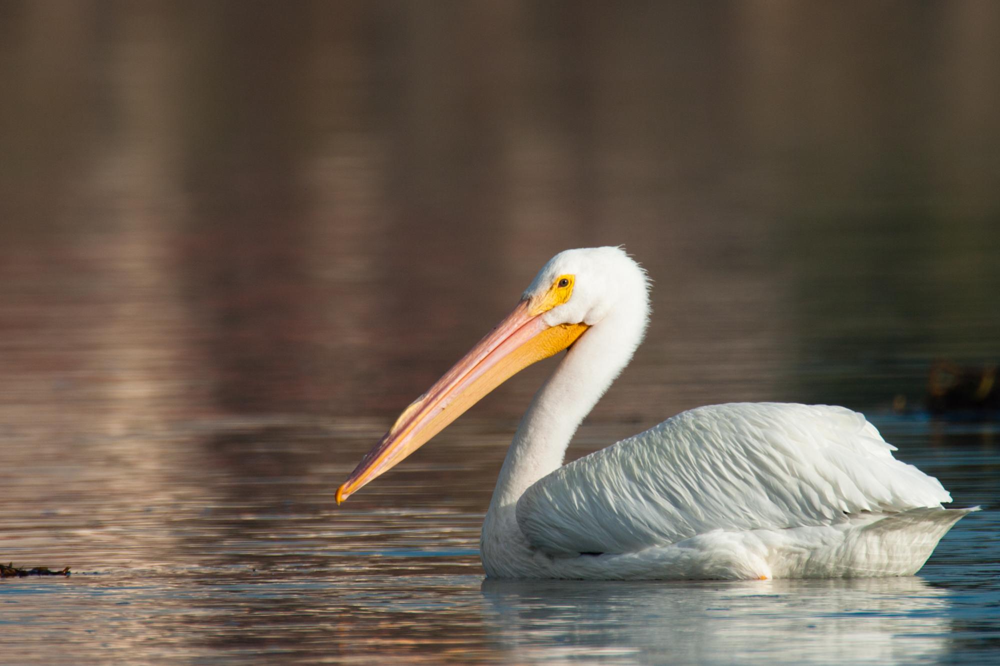 American White Pelican..美洲鹈鹕