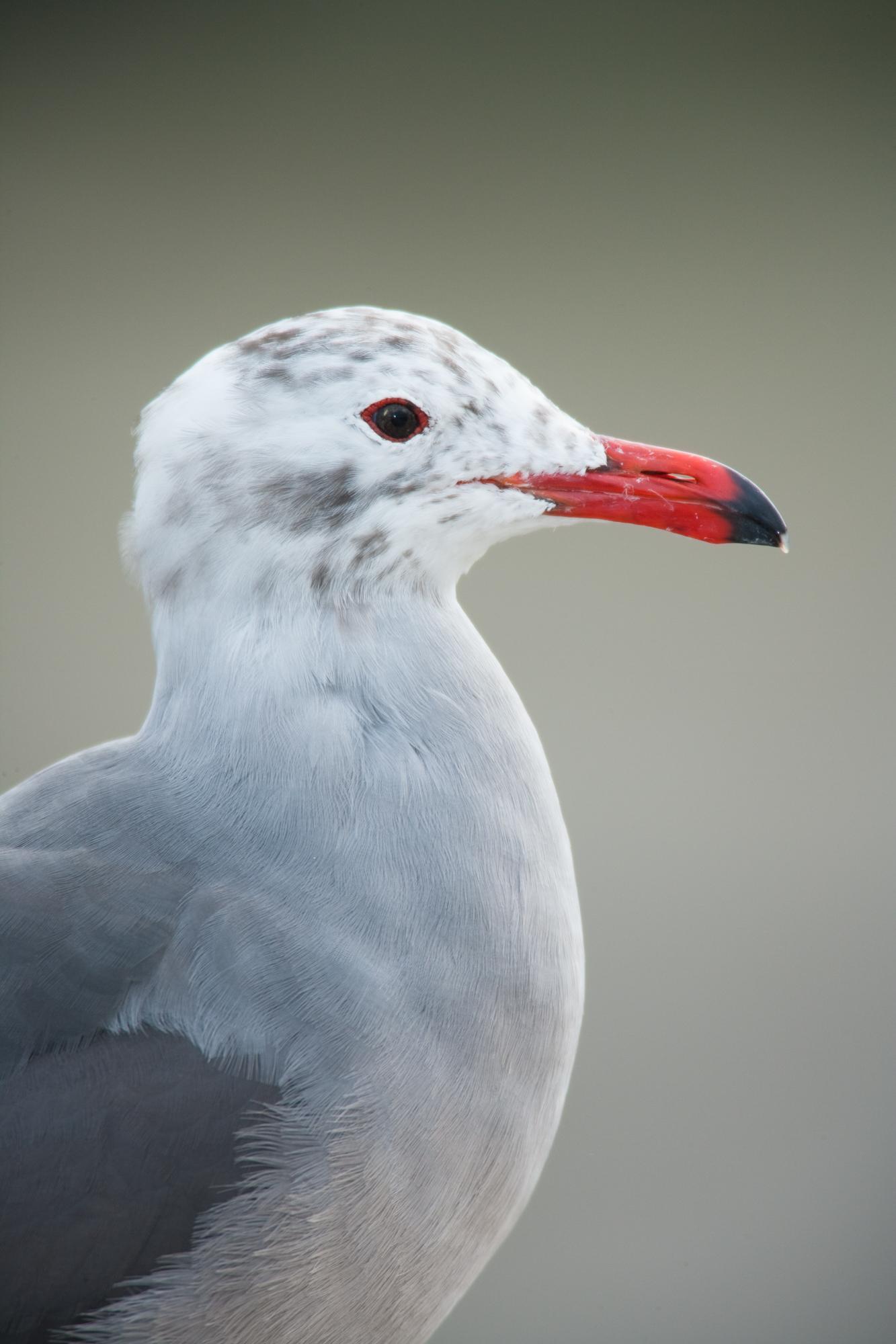 基羽的红嘴灰鸥