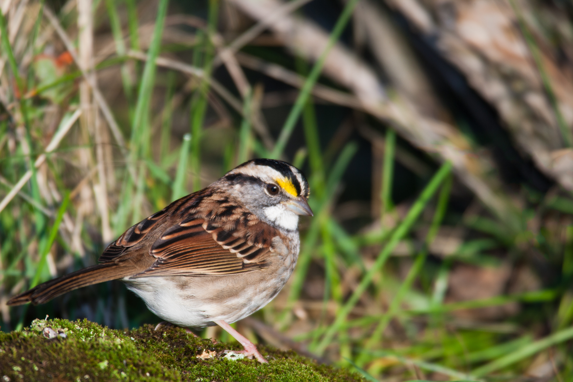 White-throated Sparrow..白喉带鹀