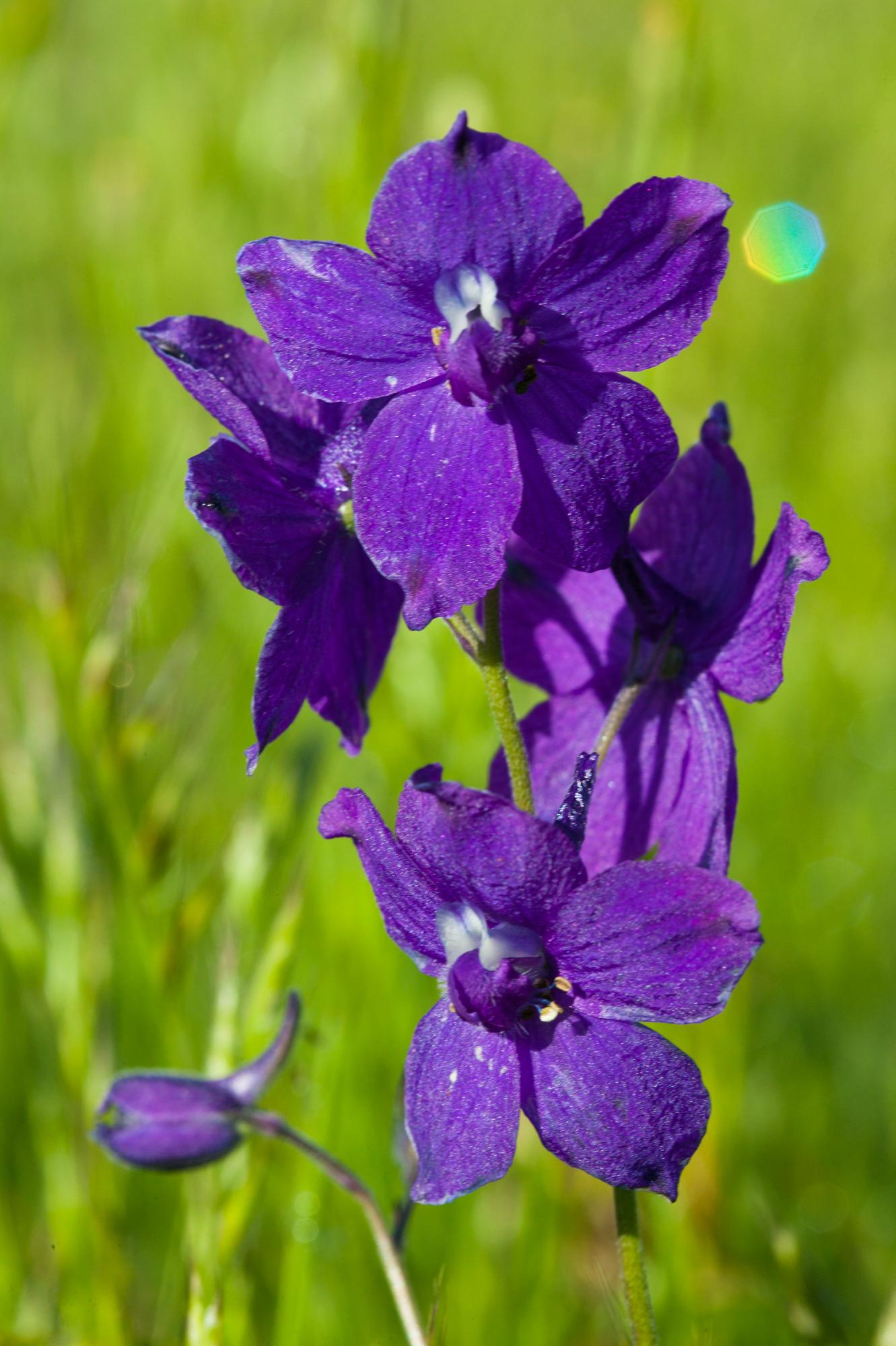 Larkspur - Delphinium sp.