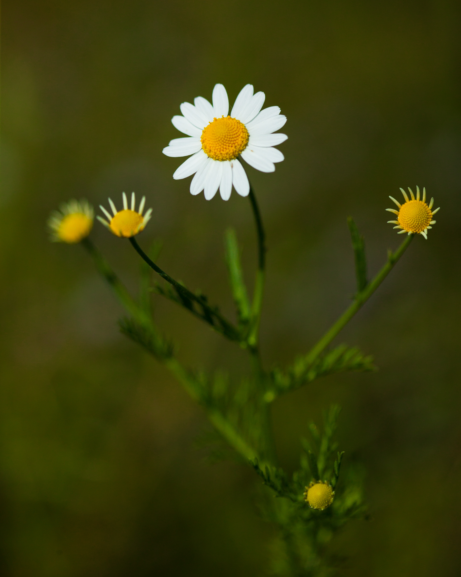 Mayweed - Anthemis cotula