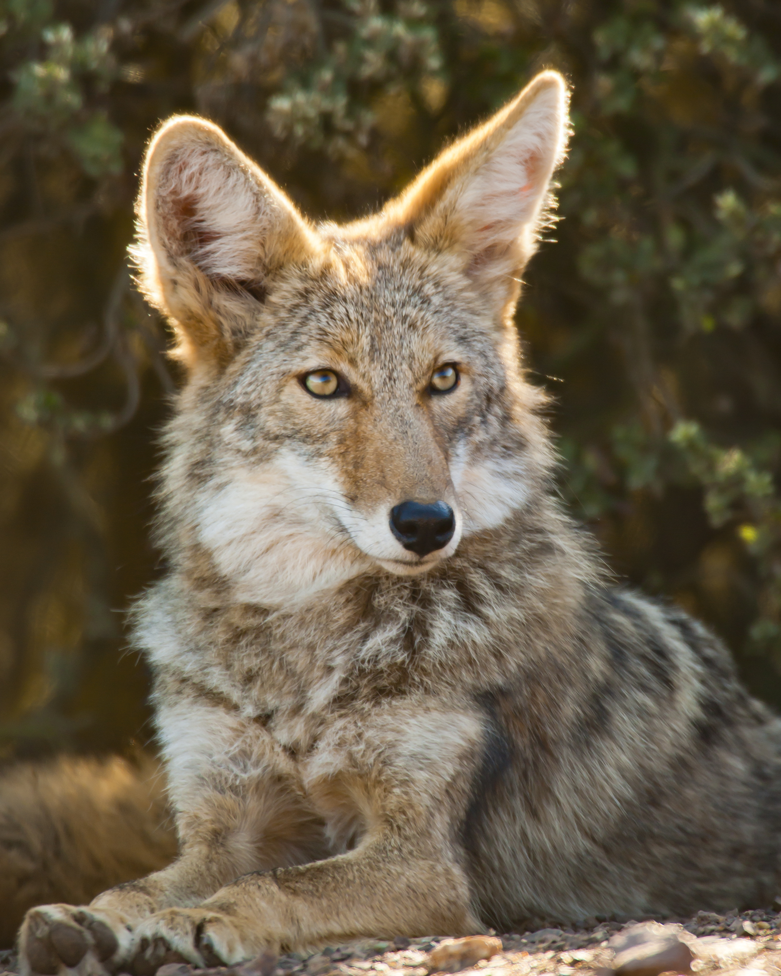 Coyote..郊狼