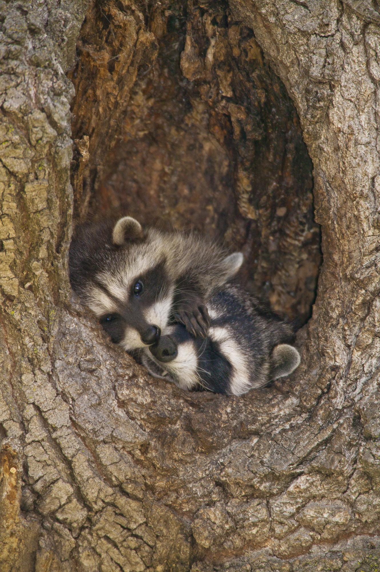 Raccoon..浣熊