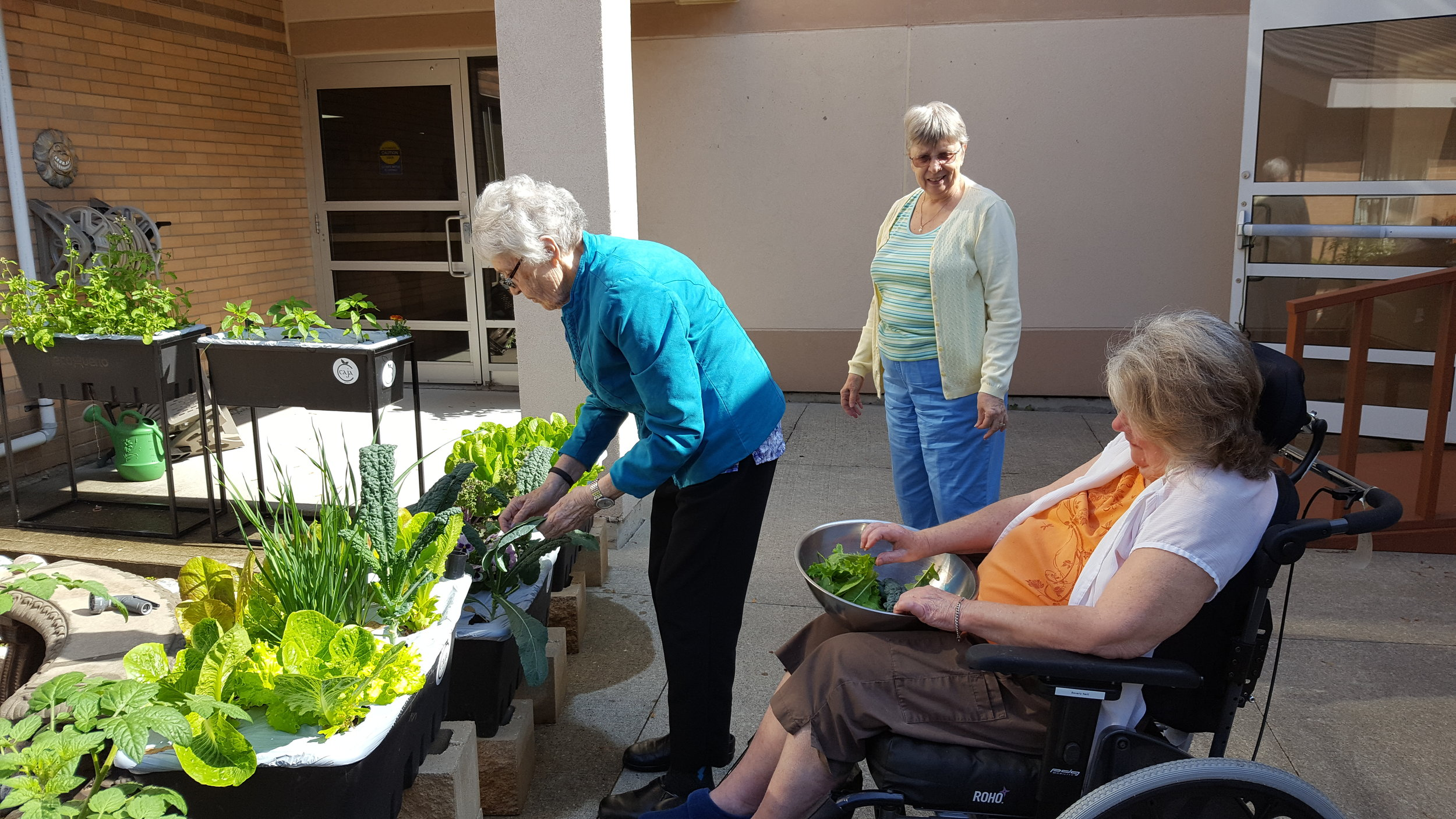 Residents at Grove Park Home harvesting kale from the gardens (Photo from Travis)