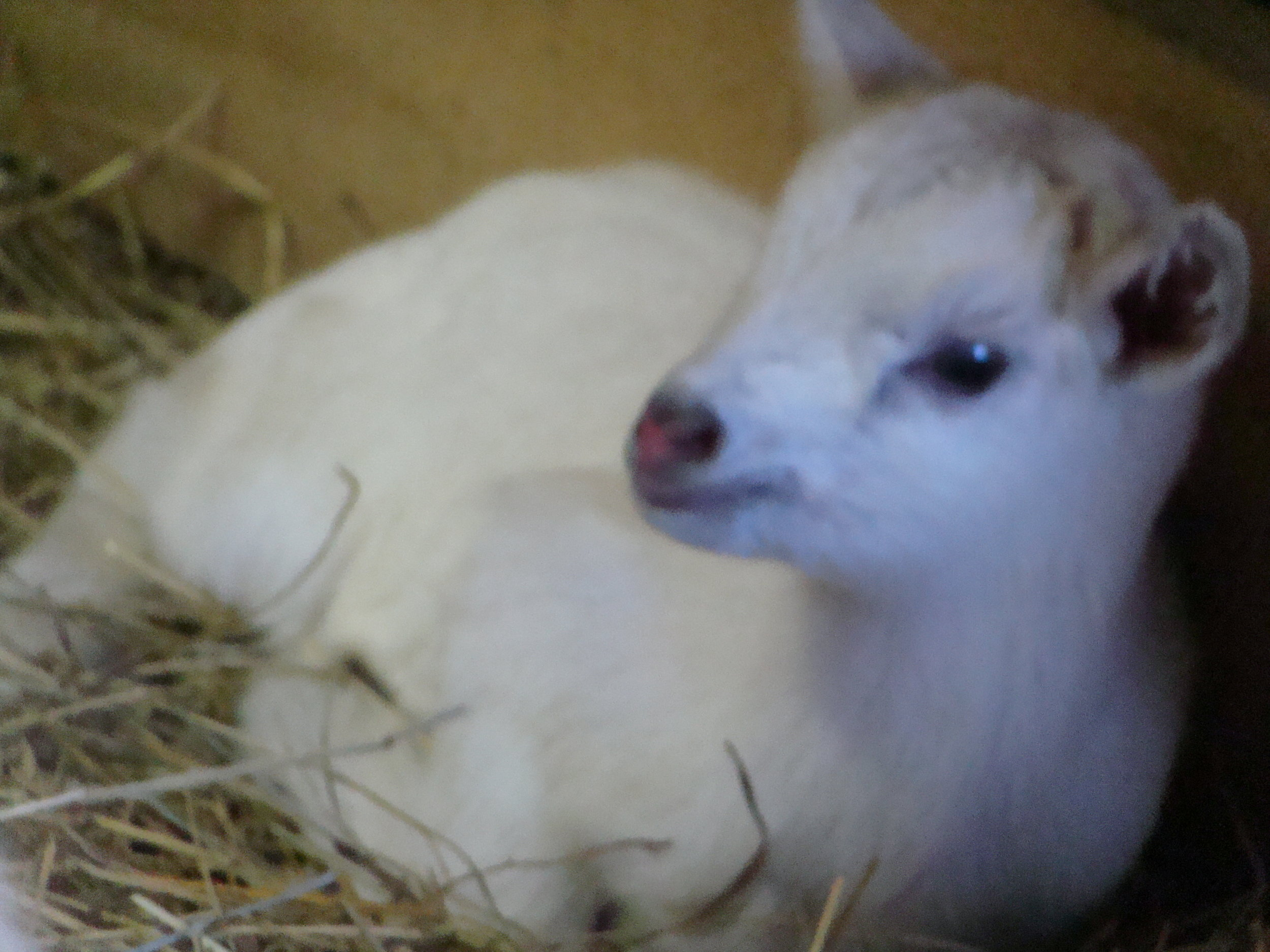 One day old mini Saanen female baby goat