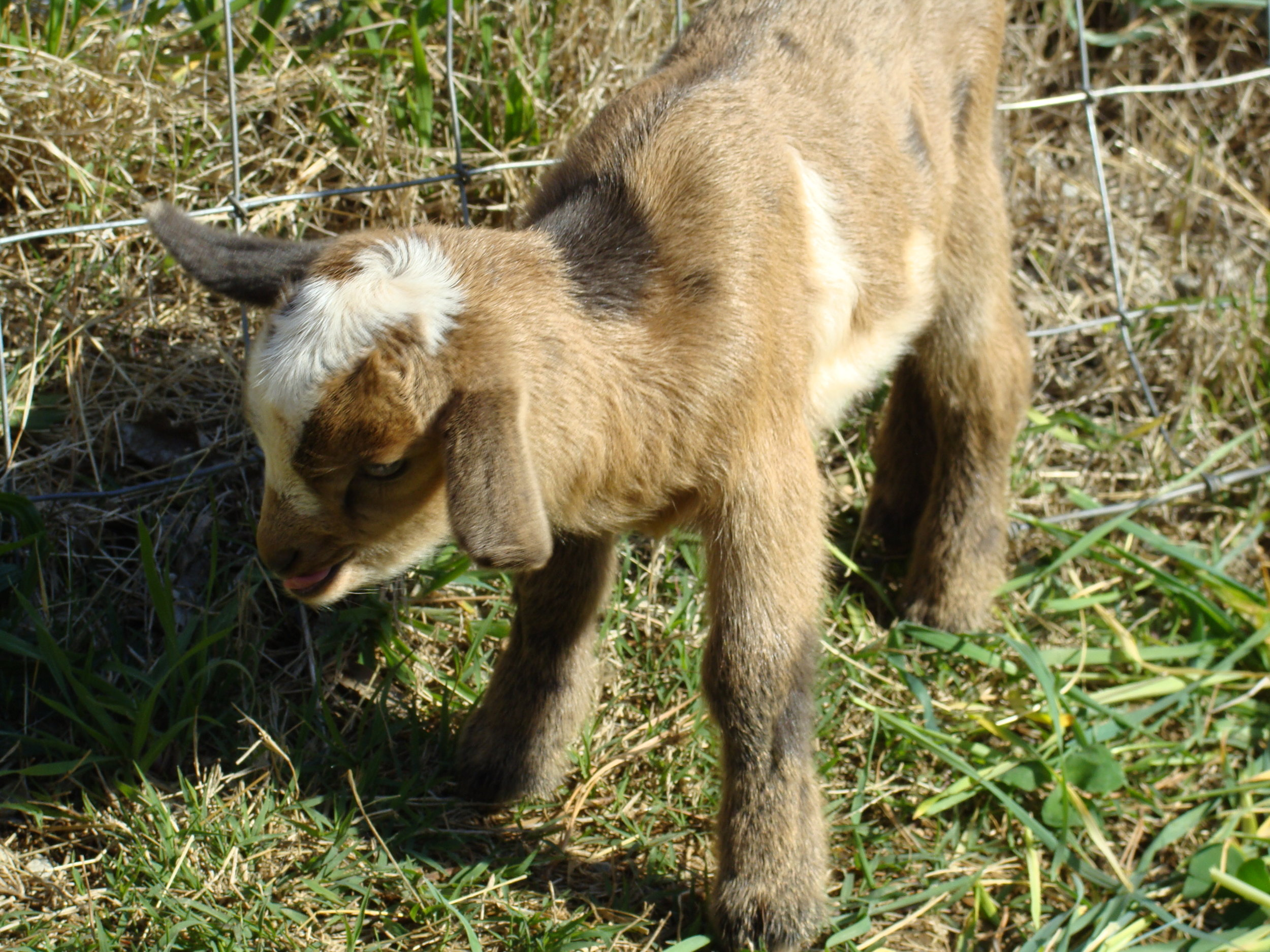 dueling-baby goat