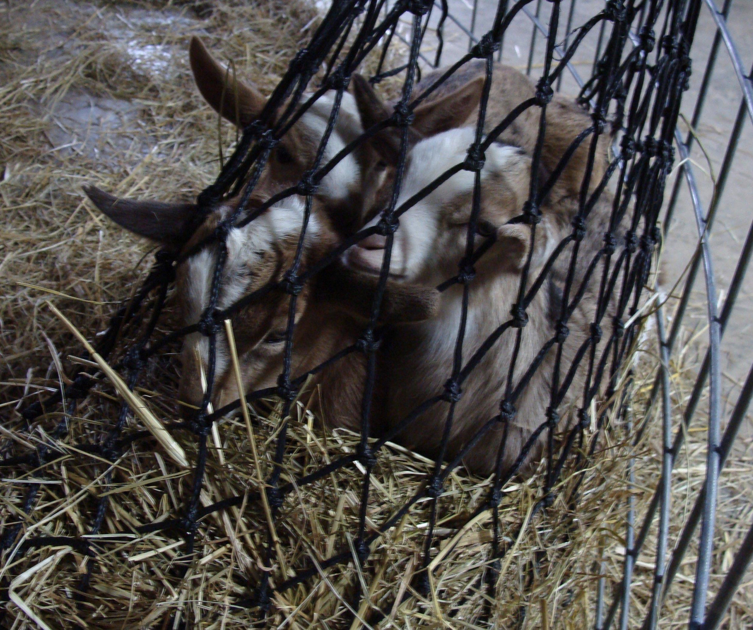 baby goats in hay bag