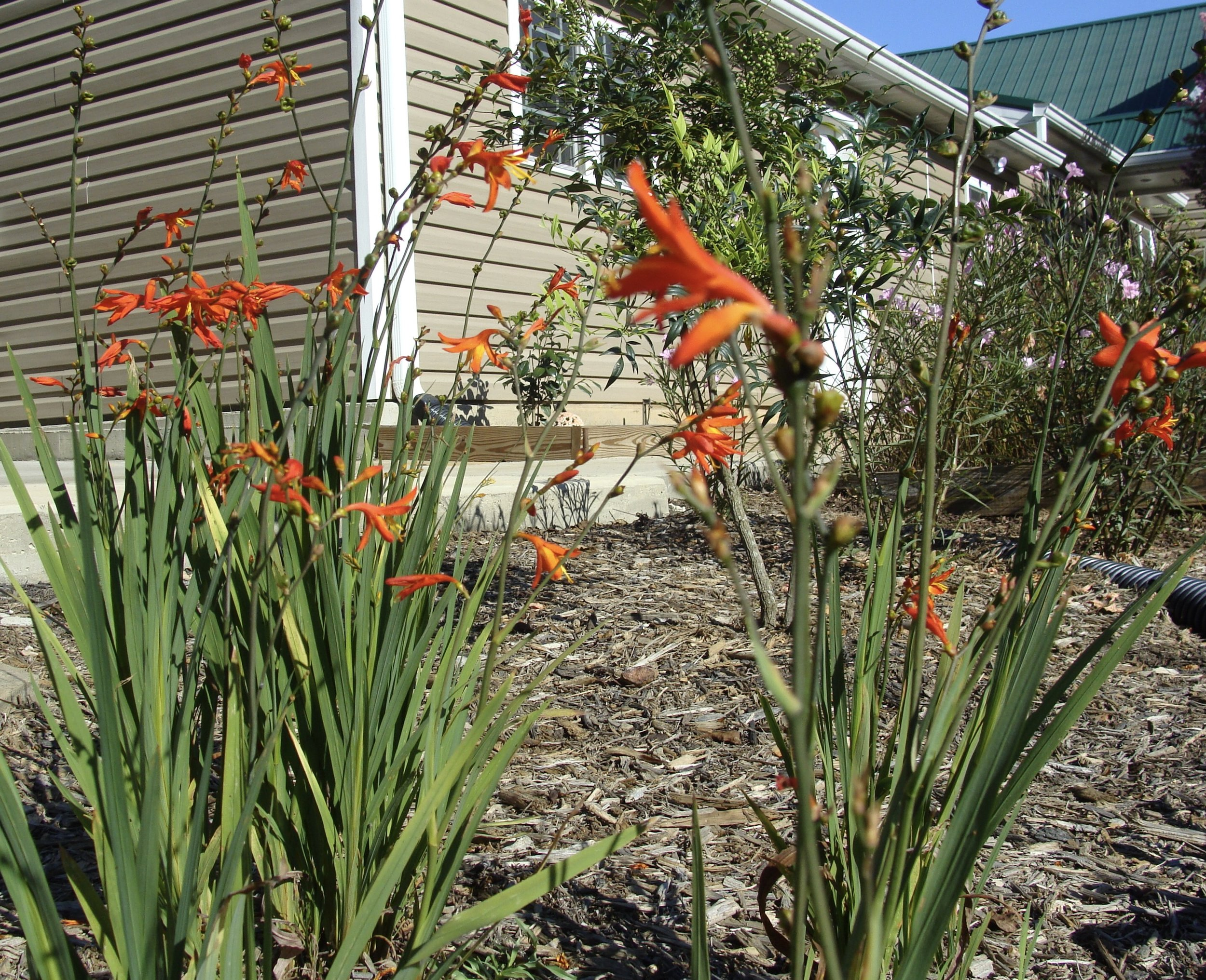 Crocosmia - perennial summer bulb