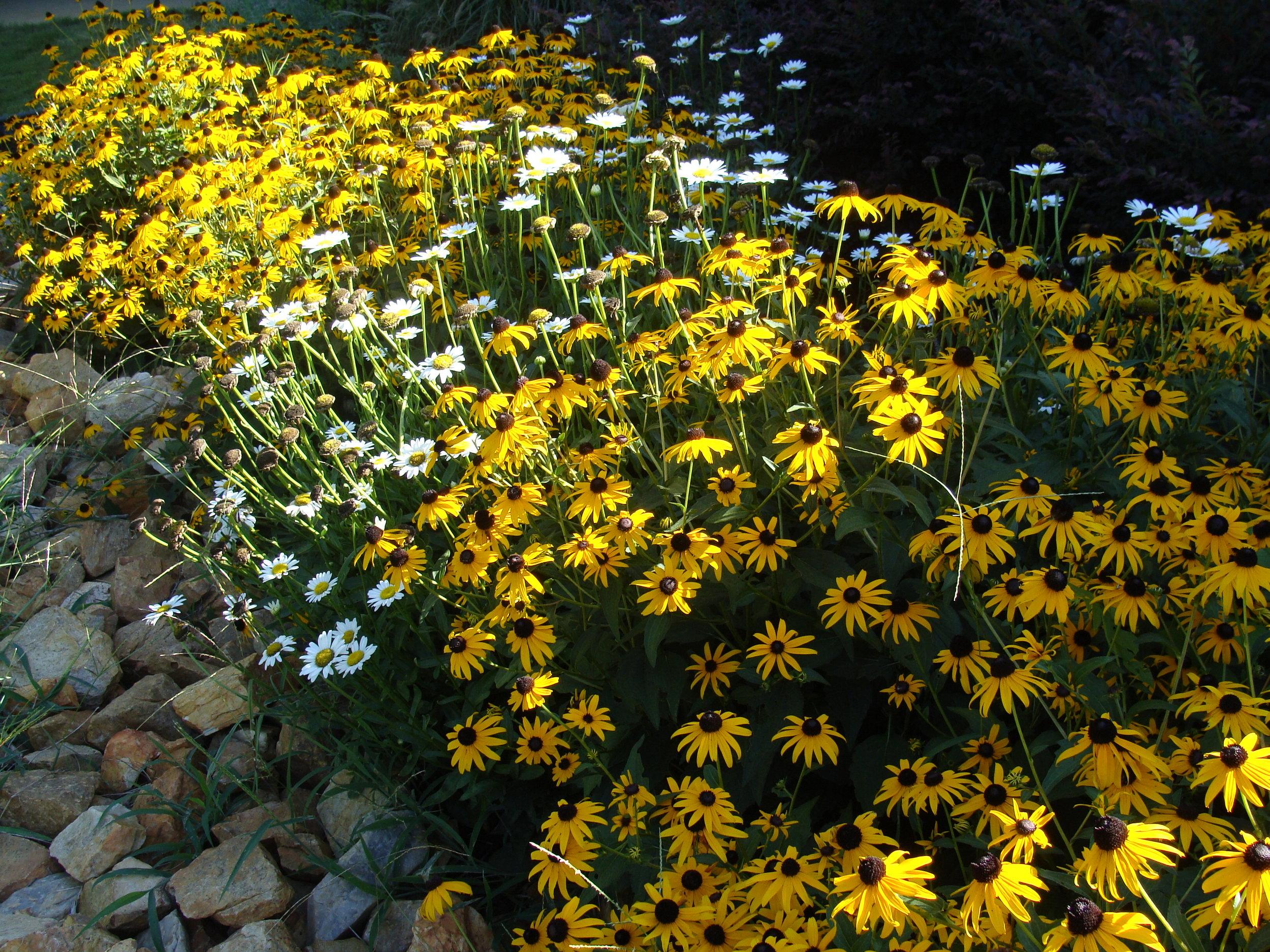 Rudbeckia hirta  (Black-Eyed Susan) and  Leucanthemum superbum  (Shasta Daisy)