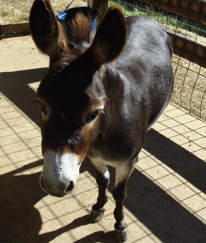 Jenny the Mini Donkey