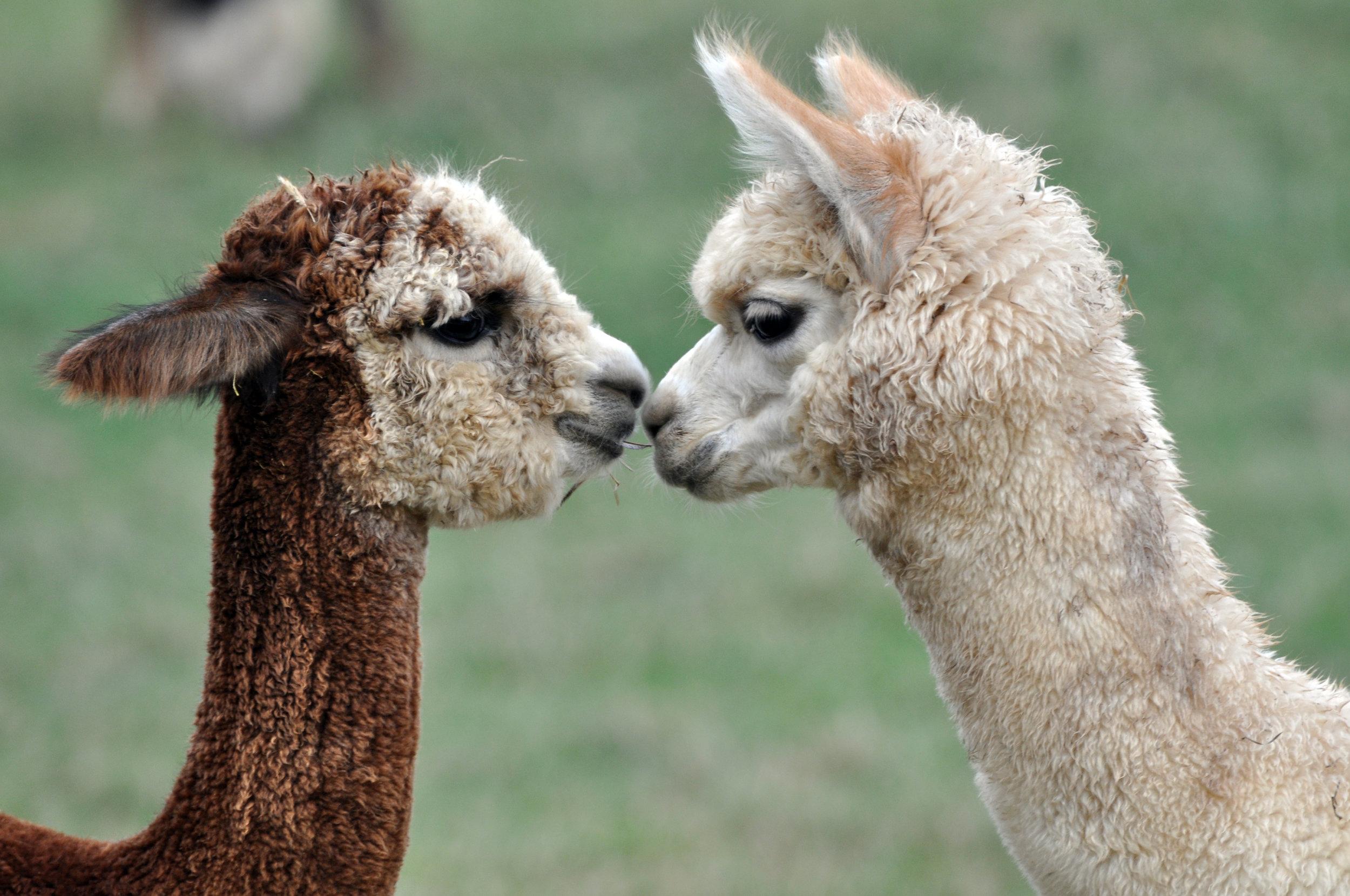 Photo -  Alpaca Fiber Designs