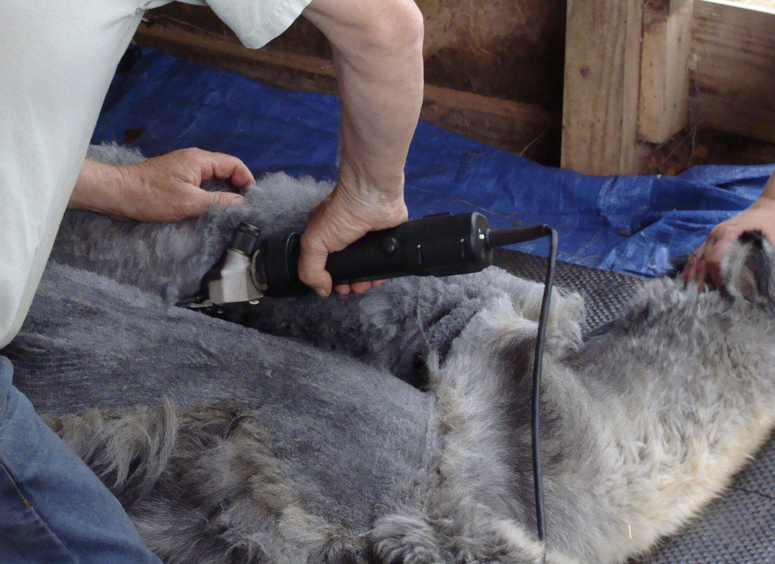 shearing alpaca