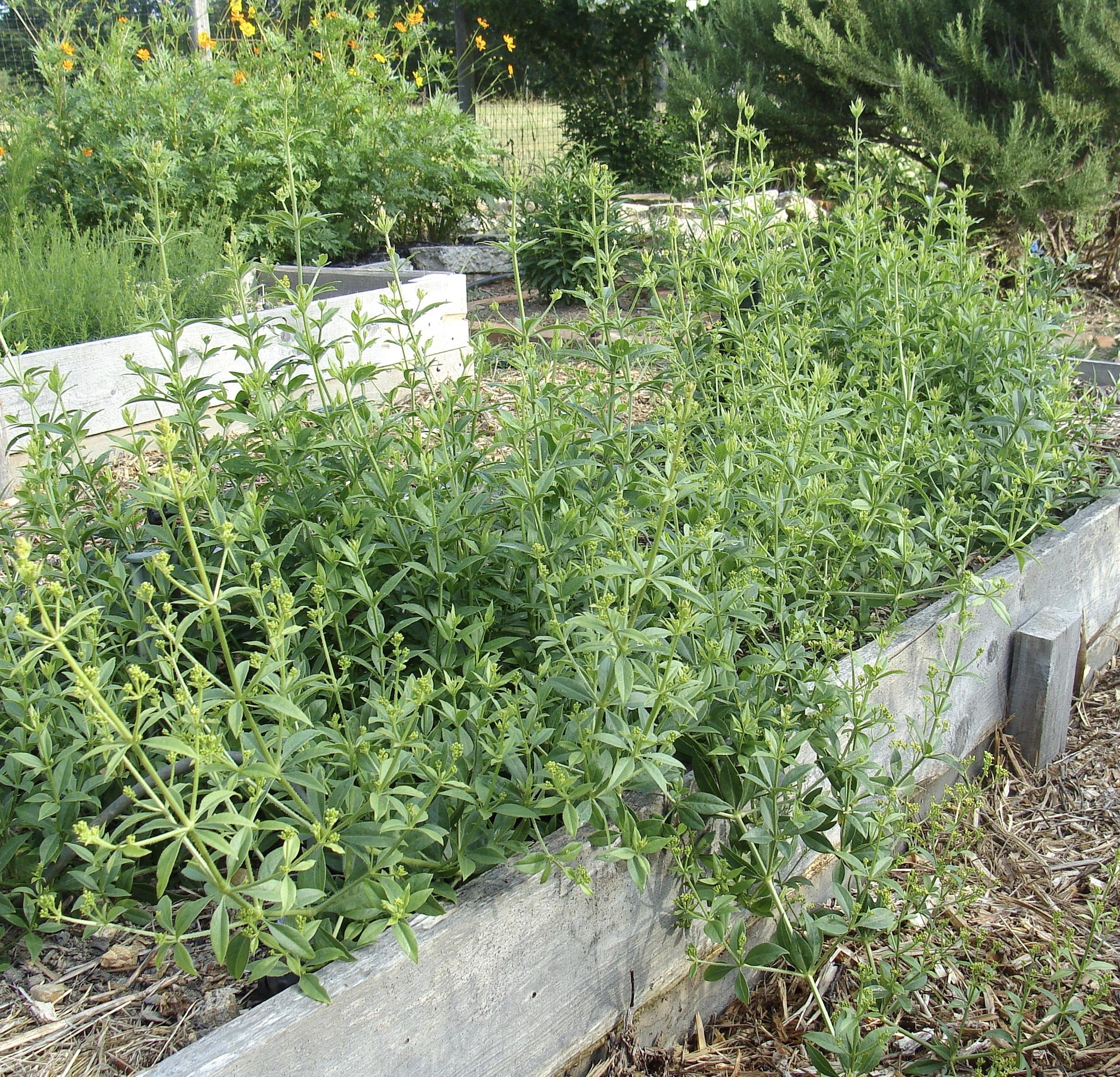 madder dye garden Green Pastures Farm