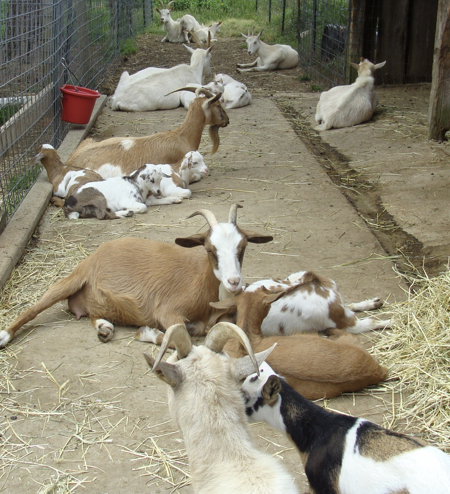 some of our herd during the morning siesta