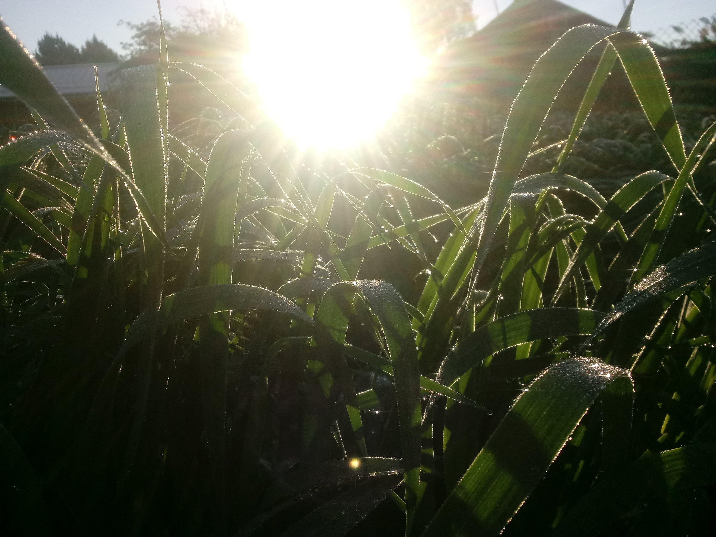 Morning sun & dew on an oat cover crop.
