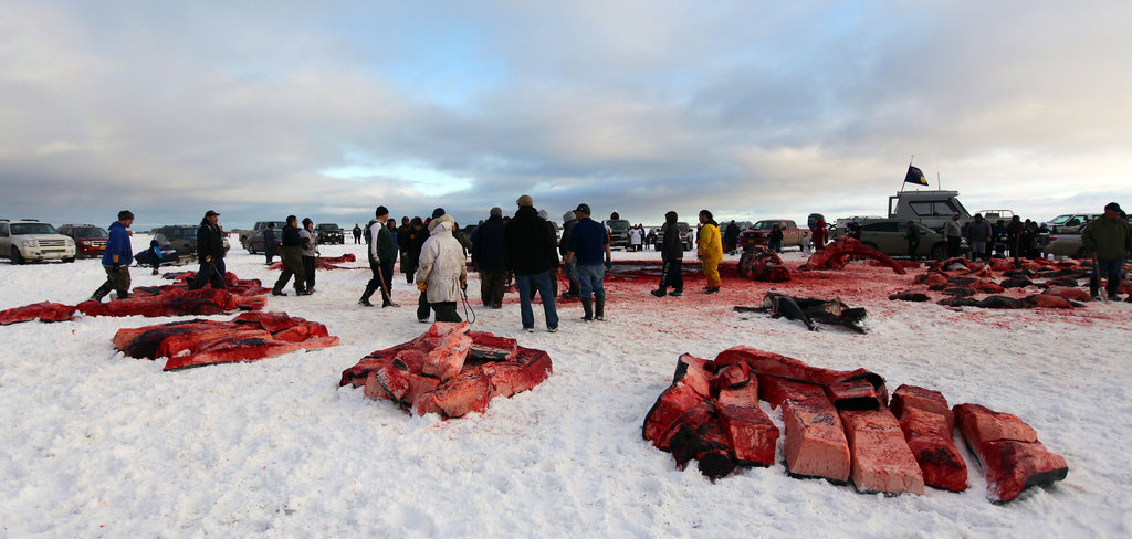 After a hunt, a whale is carved up and divided into shares.  http://www.nytimes.com/2011/10/17/us/in-sacred-whale-hunt-eskimos-use-modern-tools.html