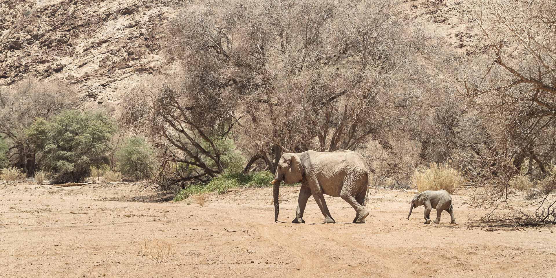 Desert Elephant a few kilometers east of White Lady Lodge, Ugab River.