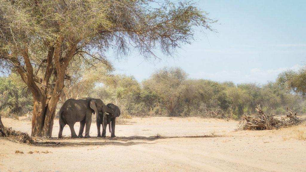 Desert Elephants of the Huab River, Namibia