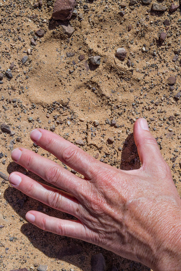 The lion spoor found a short distance from our campsite in the Huab River.